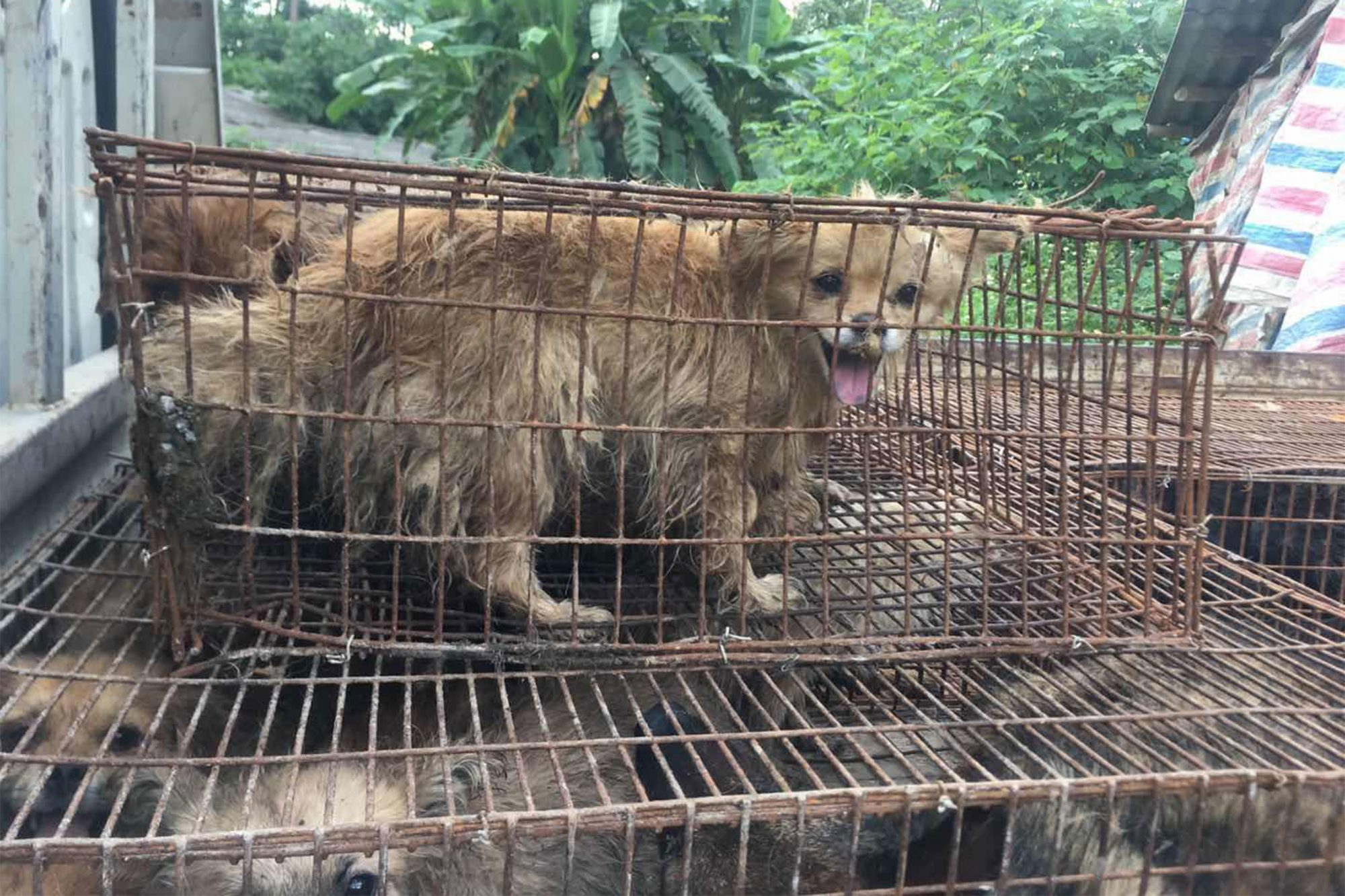 China Dog Meat Slaughterhouse Rescue