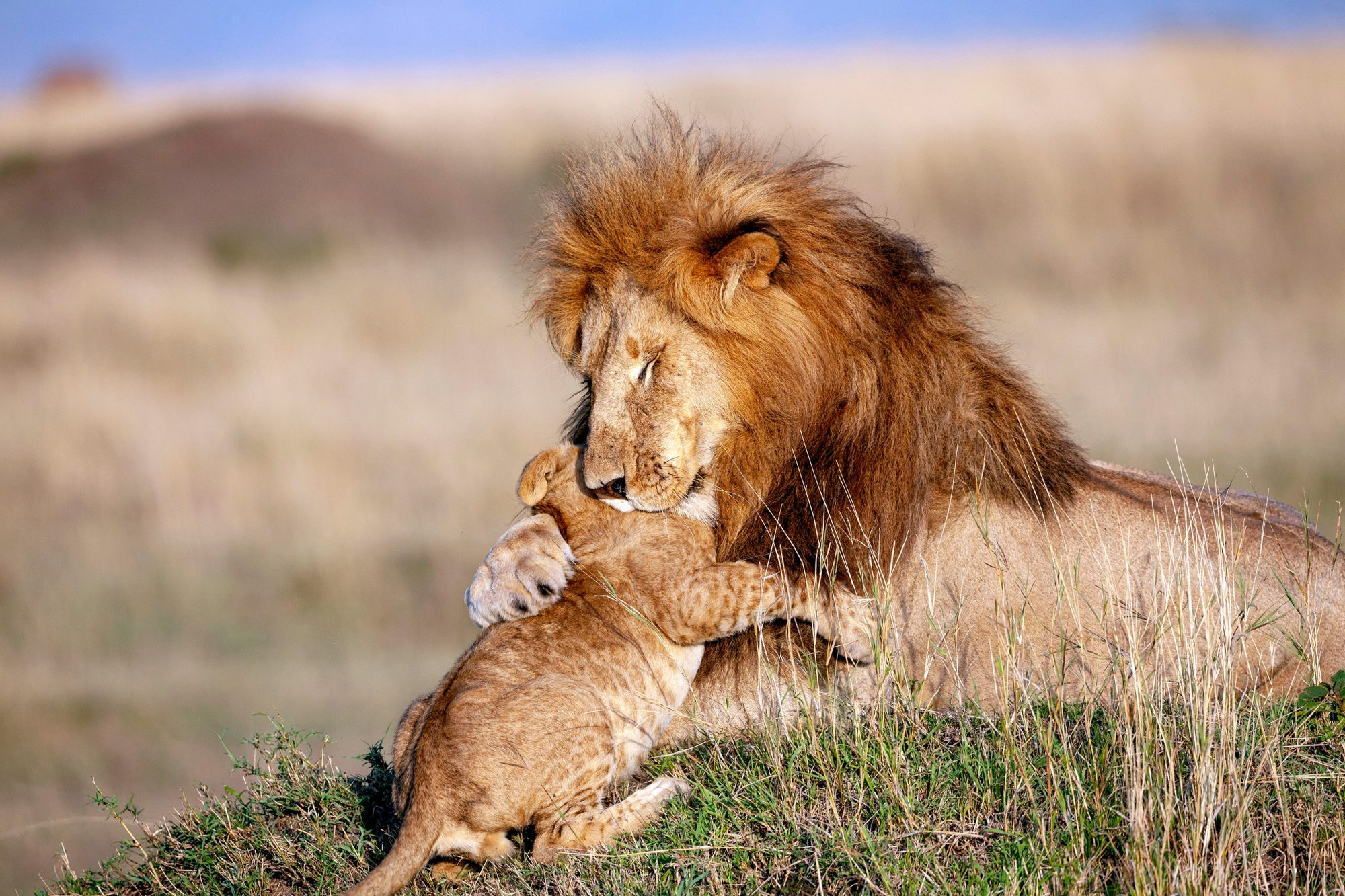 A baby lion has an adorable interaction with his dad.) - A real life Mufasa and Simba have been captured cuddling each other days before Fathers Day