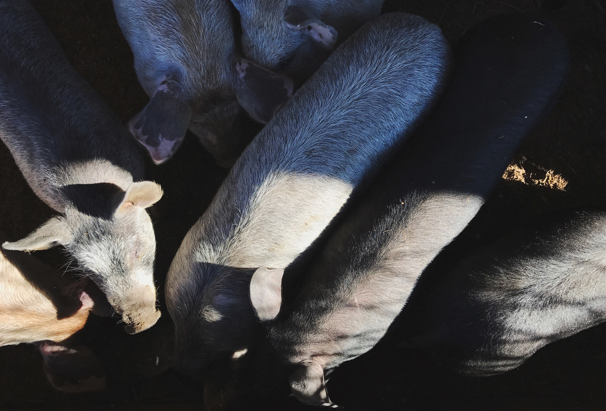 Directly Above Shot Of Pigs At Farm