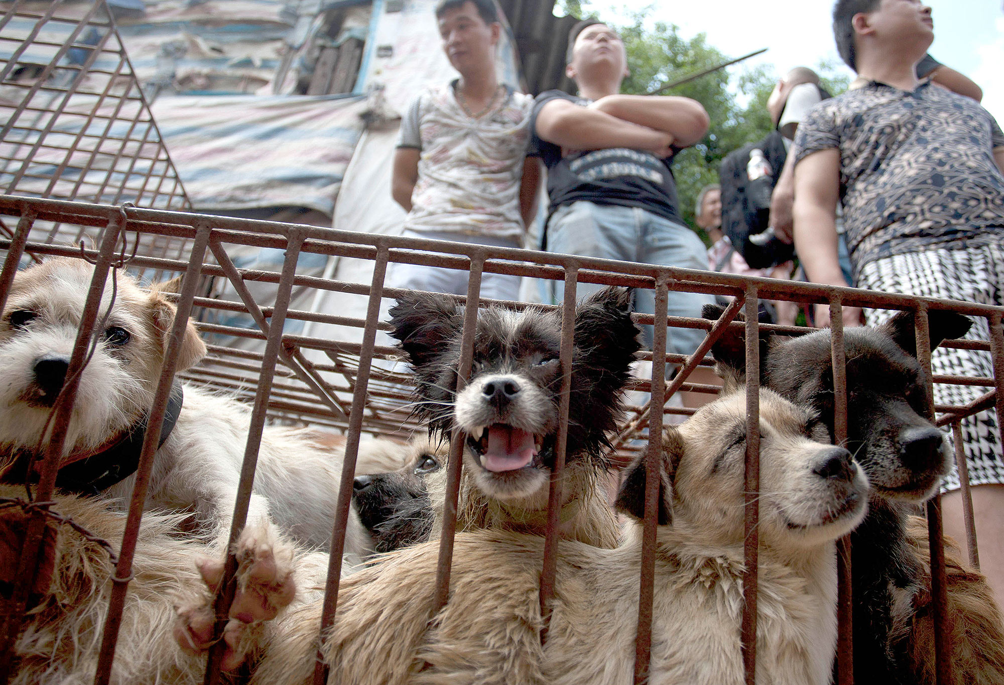Dog Meat Festival Preprations In Yulin, China