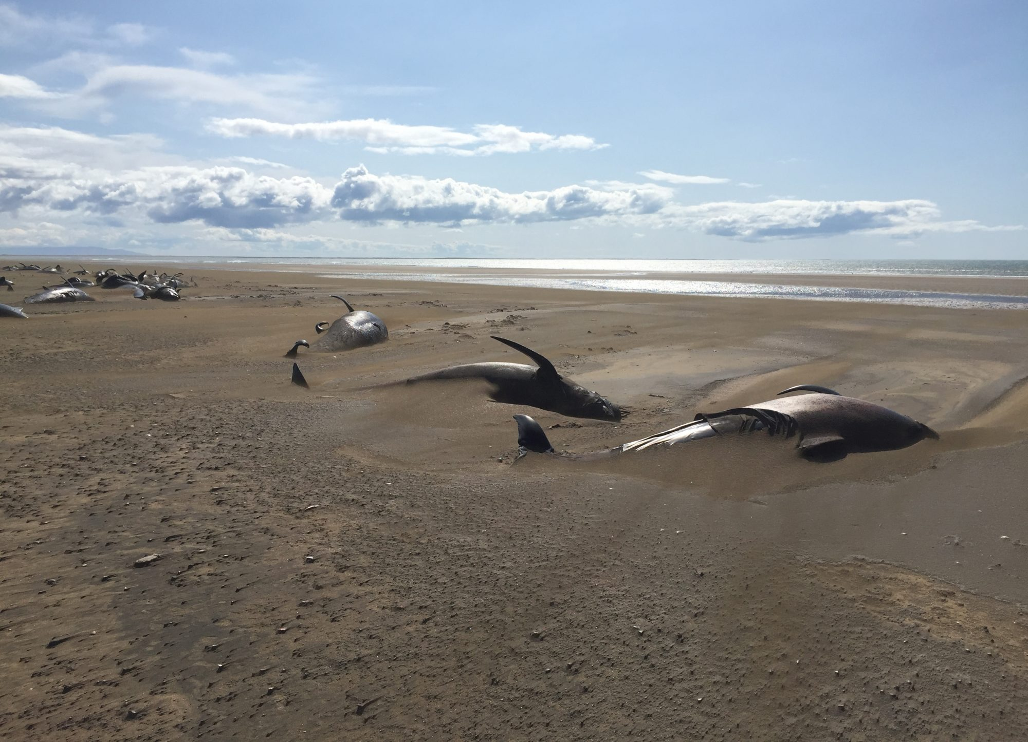 Pilot whales beached in Iceland