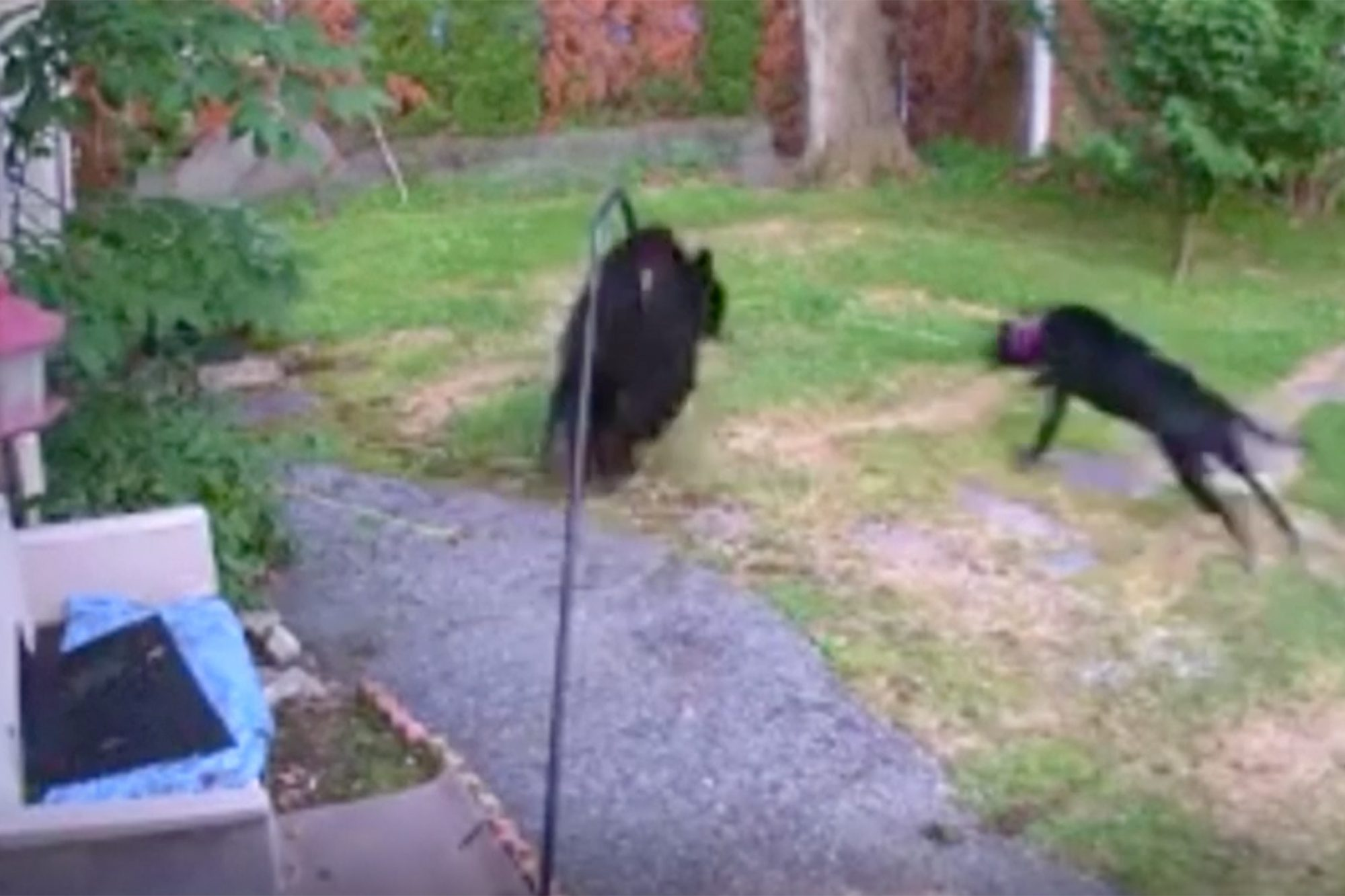 Fearless Dog Chases Off Bear