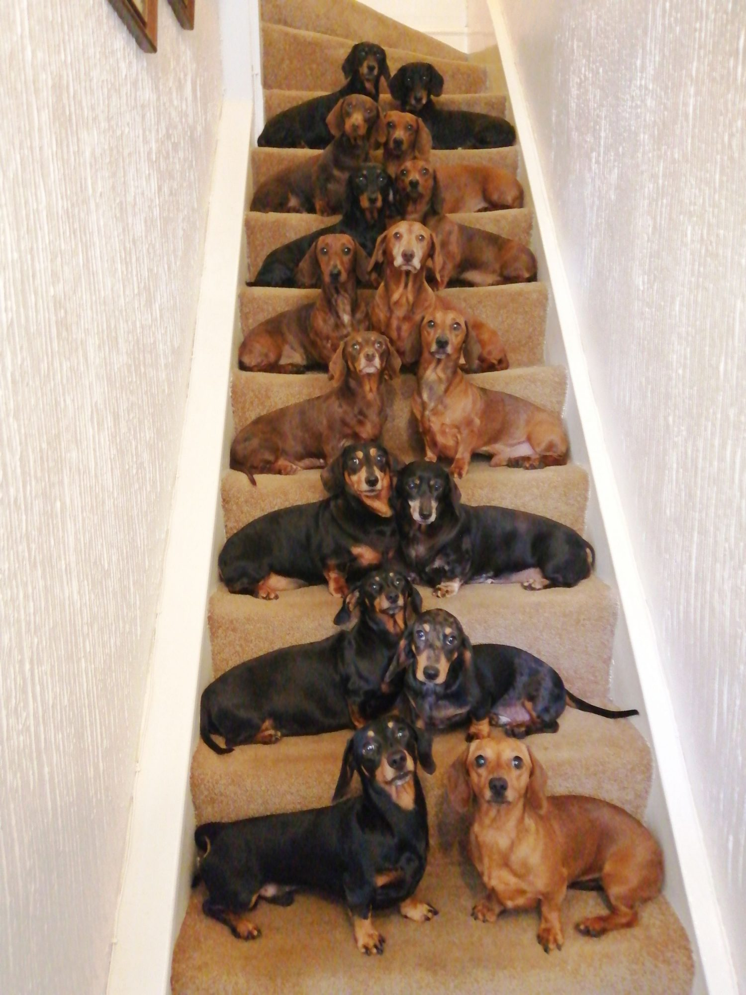 IAM BEACH, 19, MANAGED TO GET HIS 16 SAUSAGE DOGS LINED UP IN PAIRS ON THE STAIRS AND ALL LOOKING AT THE CAMERA FOR THIS AMAZING SNAP