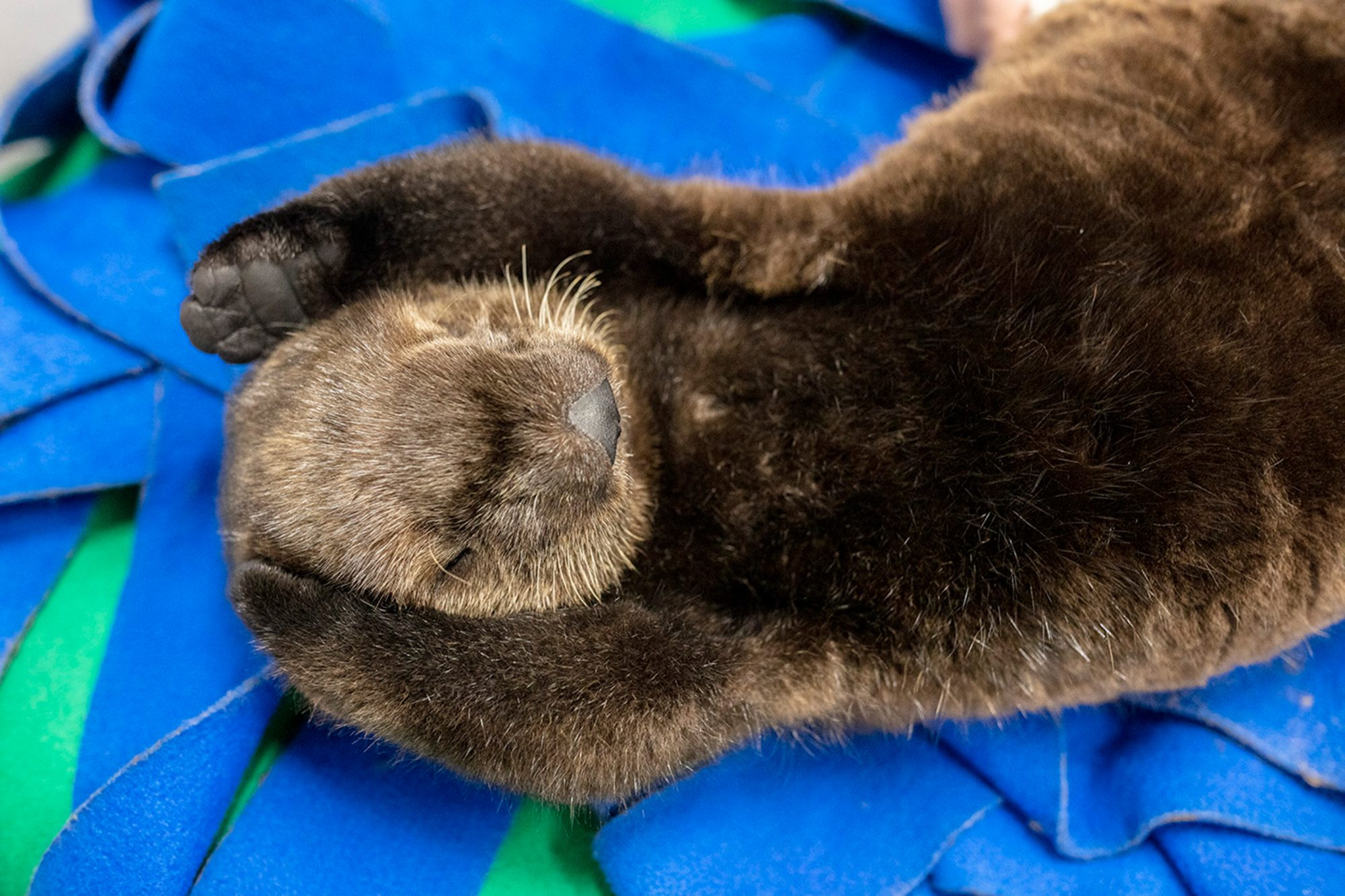 Otters Snuggling