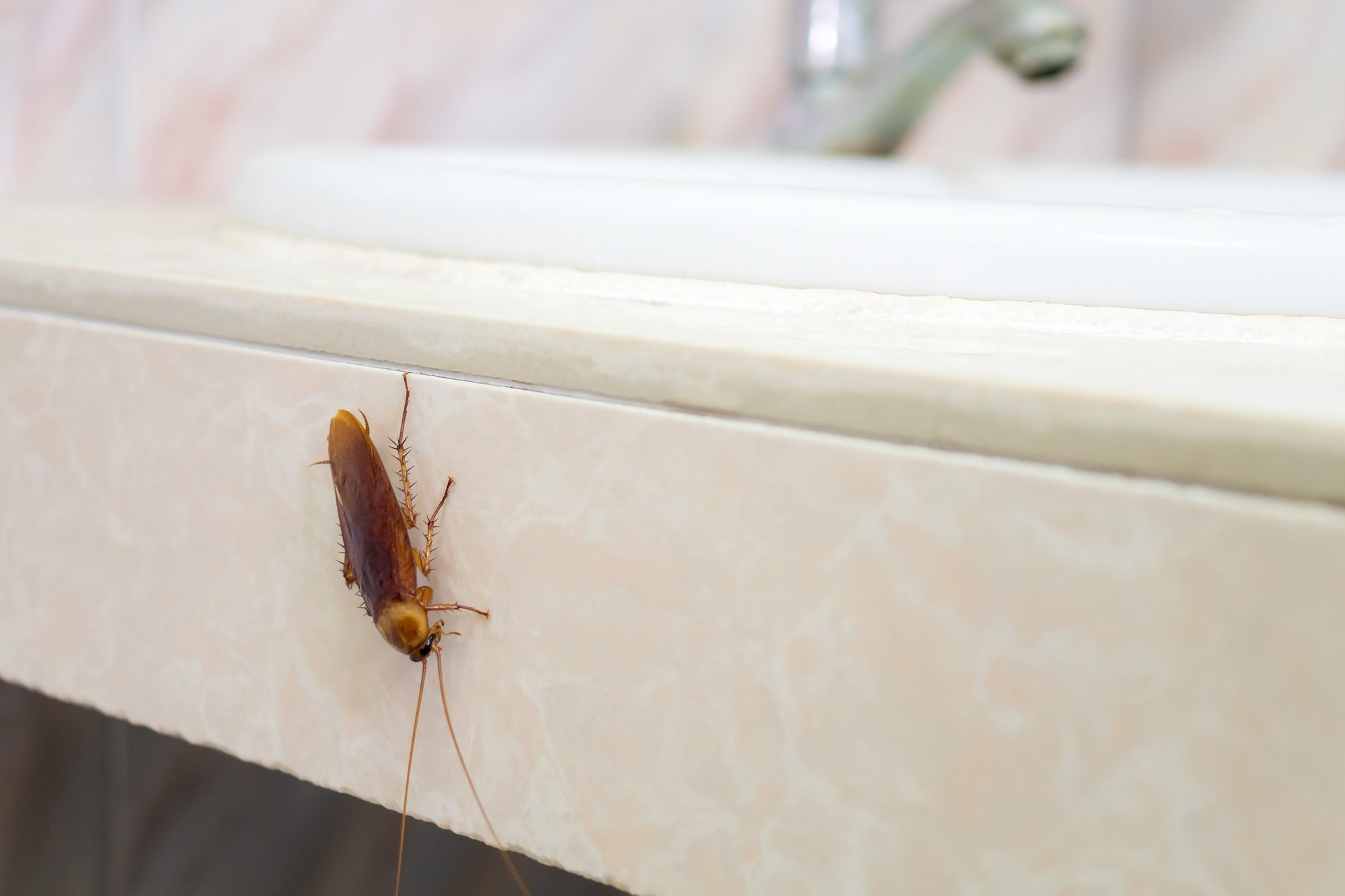 Cockroach in house on background of toilet