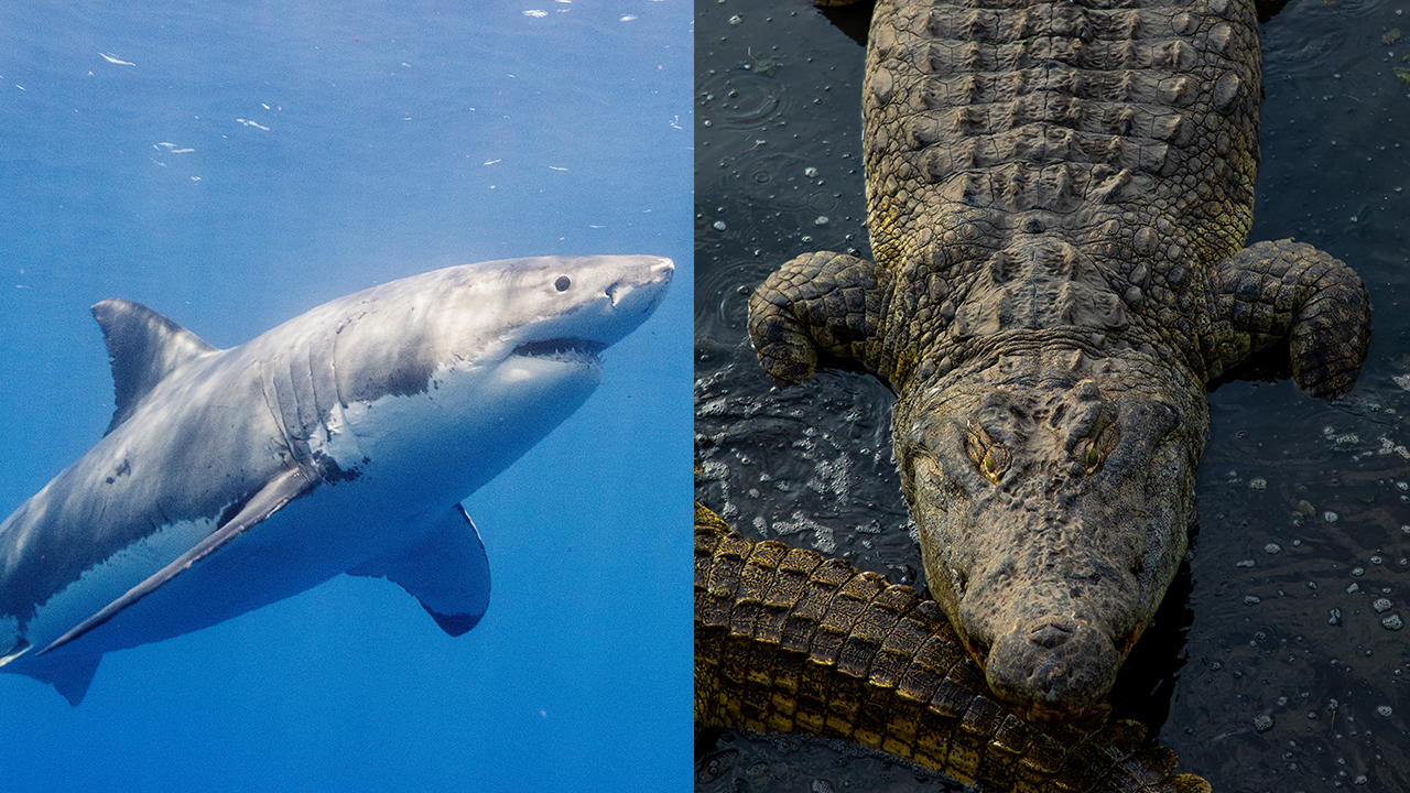 Would a Crocodile or a Great White Shark Win in a Fight?