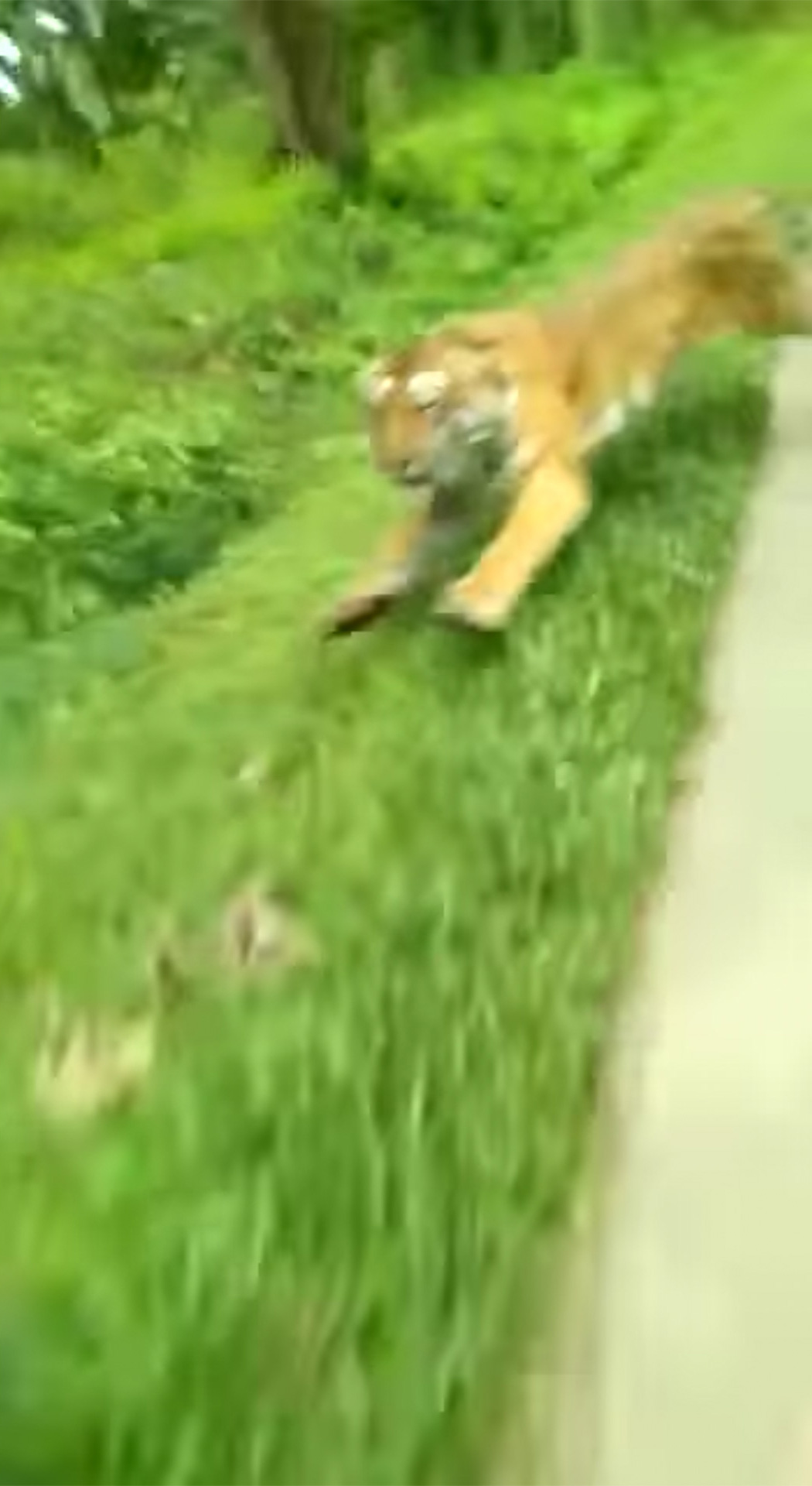 Tiger chases after motorcycle