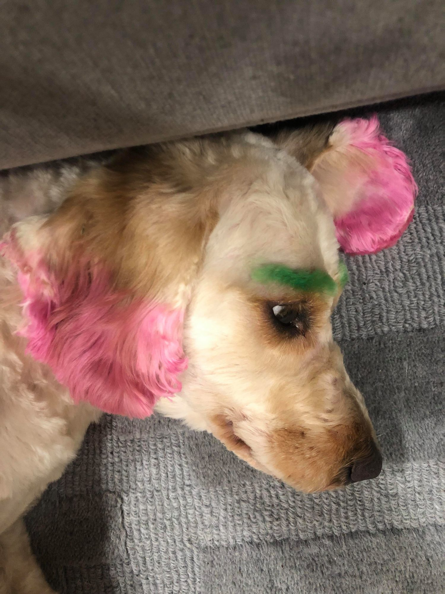 Dog Groomer dyed dogs hair without permission