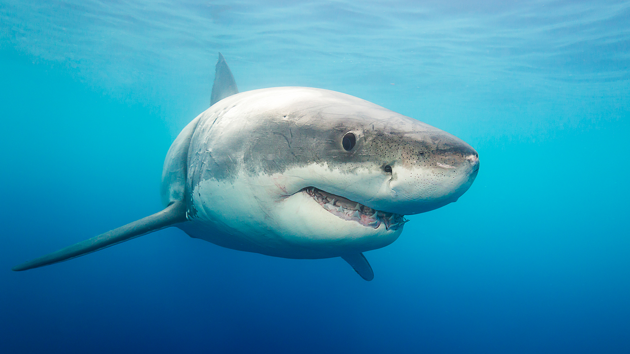 Are Humans to Blame in Shark Attacks? A Shark Expert Weighs In