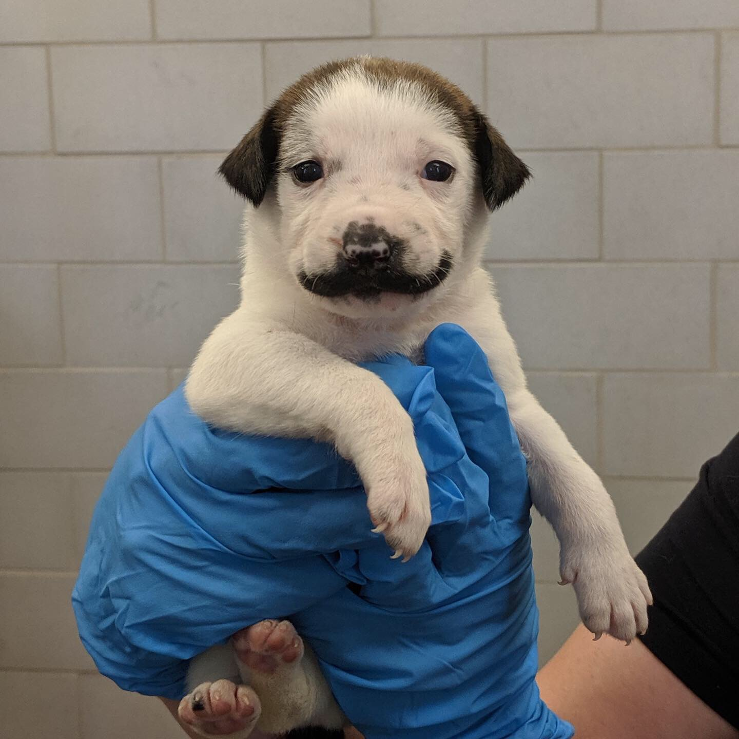 Dog with Stache