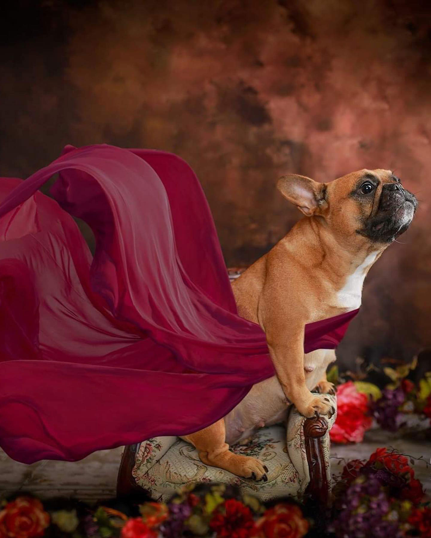 French Bulldog maternity photoshoot