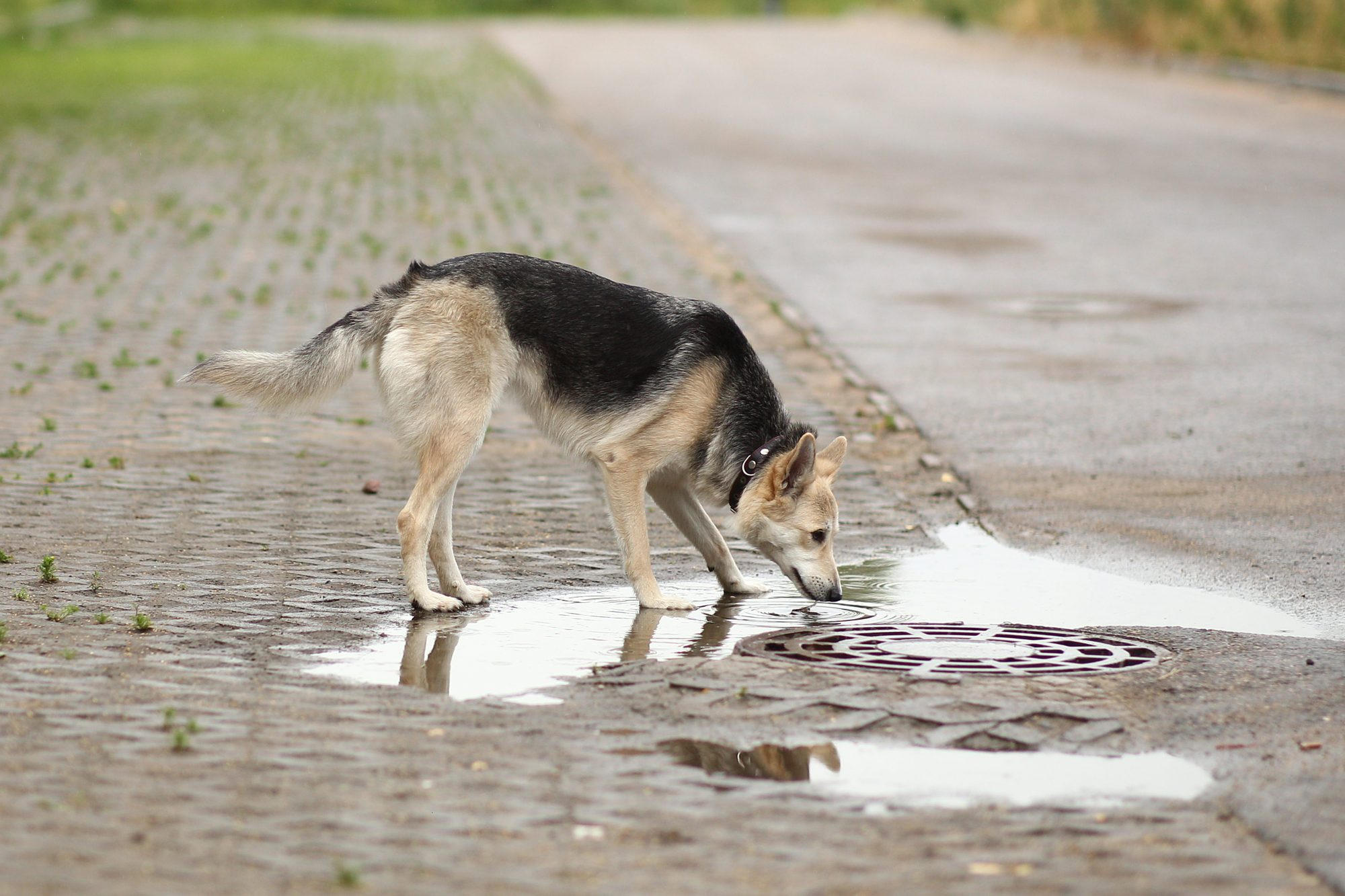 Dog drinking from puddle