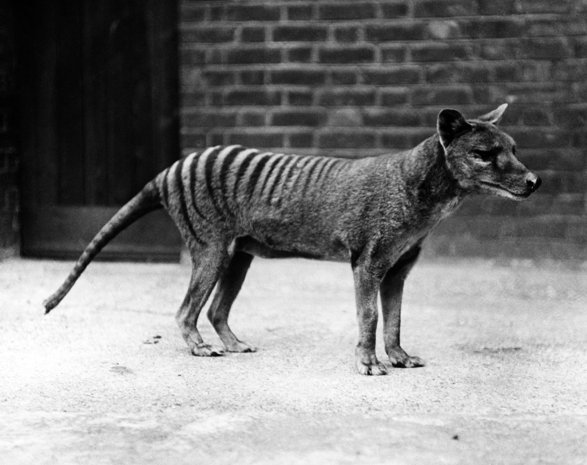 Sightings Show That The Extinct Tasmanian Tiger May Still Be Alive People Com