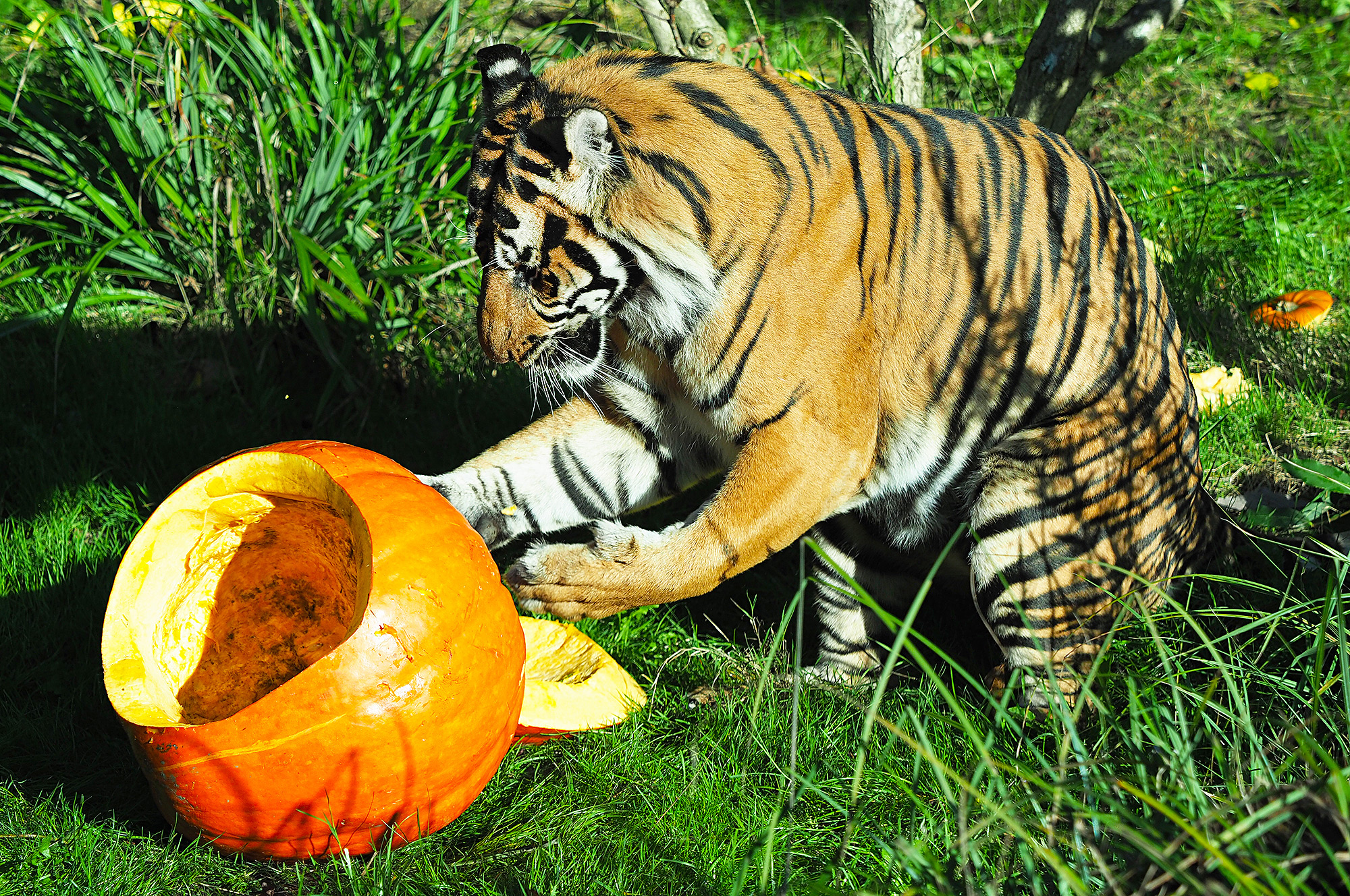 Zoo animals and pumpkins