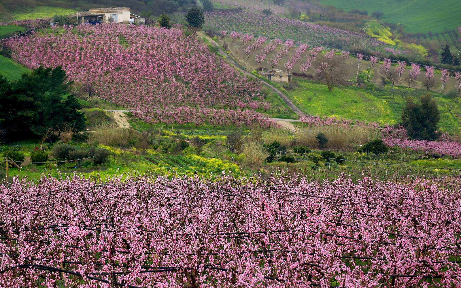 Flowering peach trees in the countryside near Bivona village. Sicily. Italy. Europe