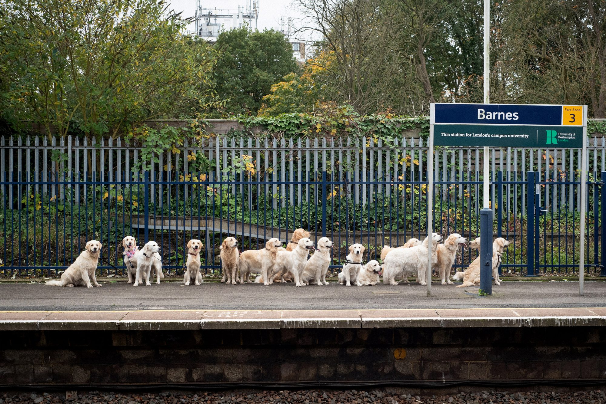 The dogs' cross a zebra crossing, inspired by the famous Abbey Road album cover from The Beatles. Morning commuters were left bemused when they saw a dozen golden retrievers queueing for the train at Barnes station in Richmond upon Thames - all part of a series of dog inspired pictures for a charity calendar. See National News story NNdogs. Commuters were gobsmacked when they saw more than a dozen dogs lined up on a train station platform. The adorable golden retrievers were not actually waiting for a train, but posing for photos to appear in a charity calendar. Passengers initially thought they were going barking mad, but were soon delighted to see so many well-groomed canine models on a platform. More than 30 thousand social media users liked the picture, at Barnes station, in Richmond upon Thames, which inspired scores of puppy puns. One called the scene a meeting of 'Very Important Puppies,' while another chipped in branding it the 'Andrex puppy reunion.'