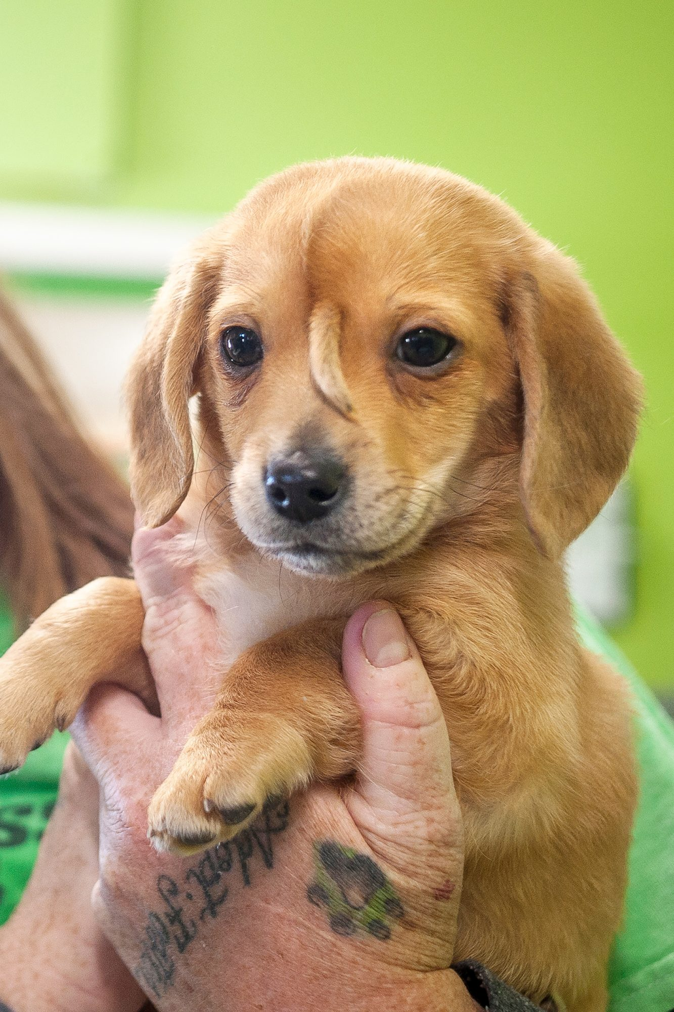 """Mac's Mission animal rescue founder Rochelle Steffen holds a 10-week-old golden retriever puppy with a small tail growing between his eyes, dubbed """"Narwhal,"""" Wednesday, Nov. 13, 2019, in Jackson, Mo. The puppy's condition has led to widespread online notoriety and, Steffen said, a flood of adoption offers."""