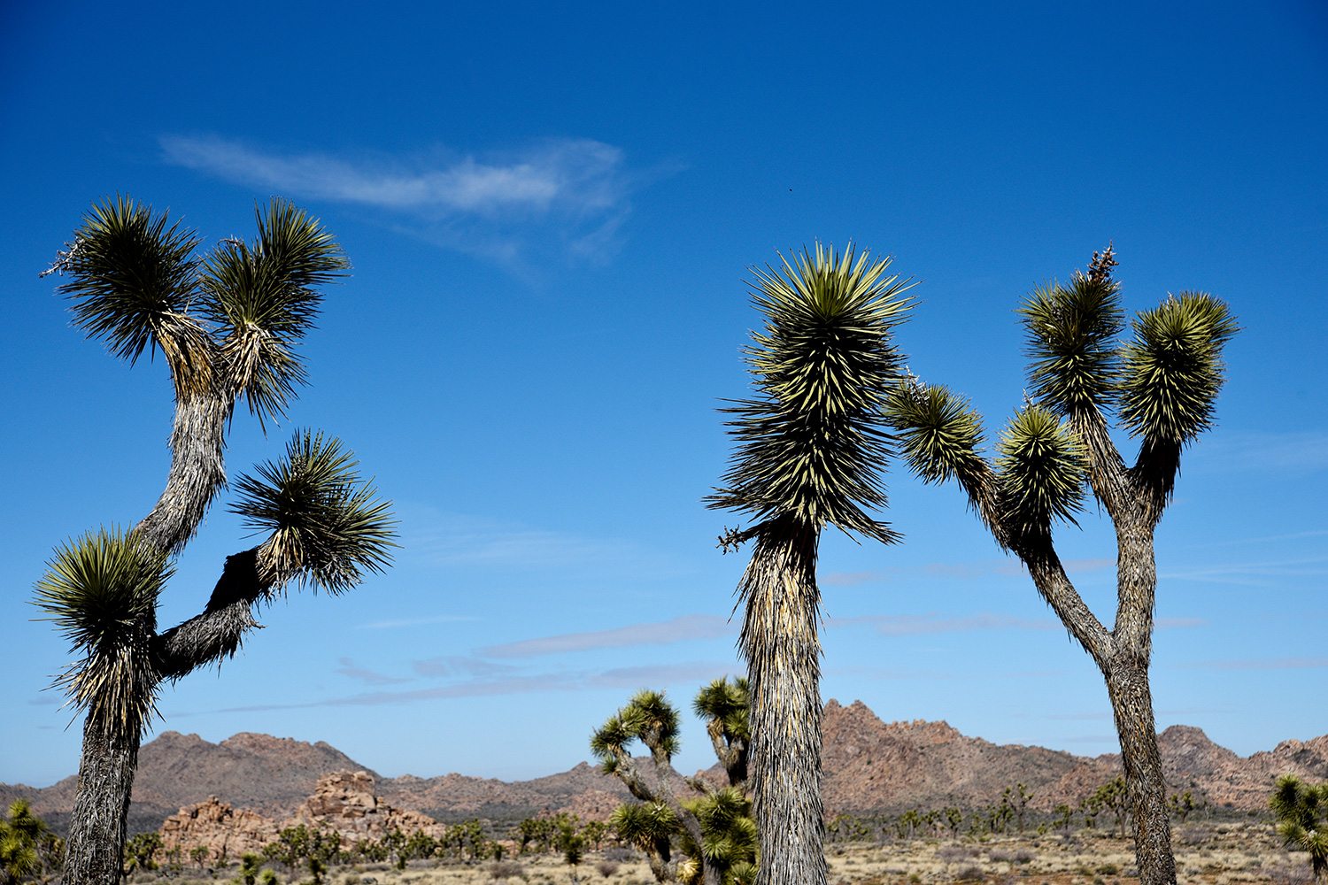 Joshua trees grow in front of massive rock formations in Joshua Tree National Park in California