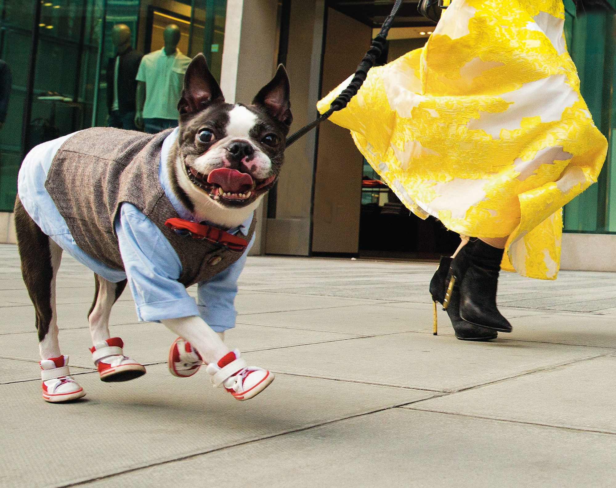 Barking! book Boston Terrier in red boots in London 2019