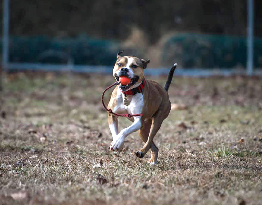 Hansel the pitbull is believed to be the first arson detection K9 in the country.