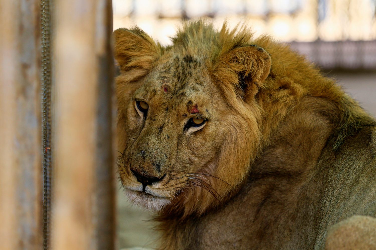 A malnourished lioness sits in her cage at the Al-Qureshi park in the Sudanese capital Khartoum on January 19, 2020. - Sudanese citizens and activists have launched a social media campaign to save five lions from starvation after complaints that they were not receiving their daily quota of meat