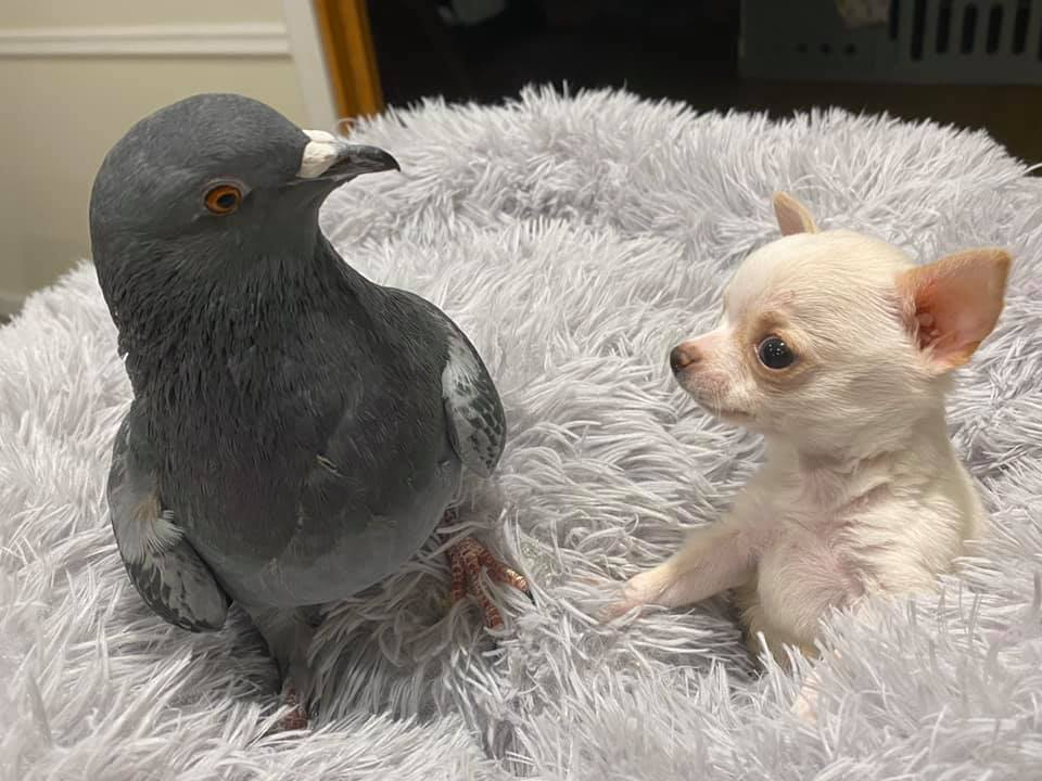Pigeon and chihuahua puppy become friends