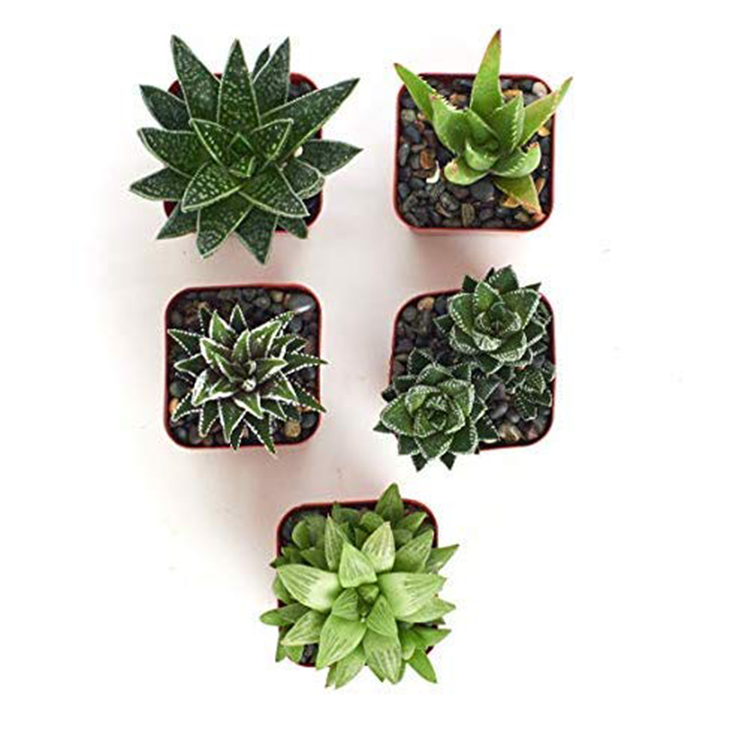 Haworthia Alluring Live Aloe Hand Selected for Health Pack of 5