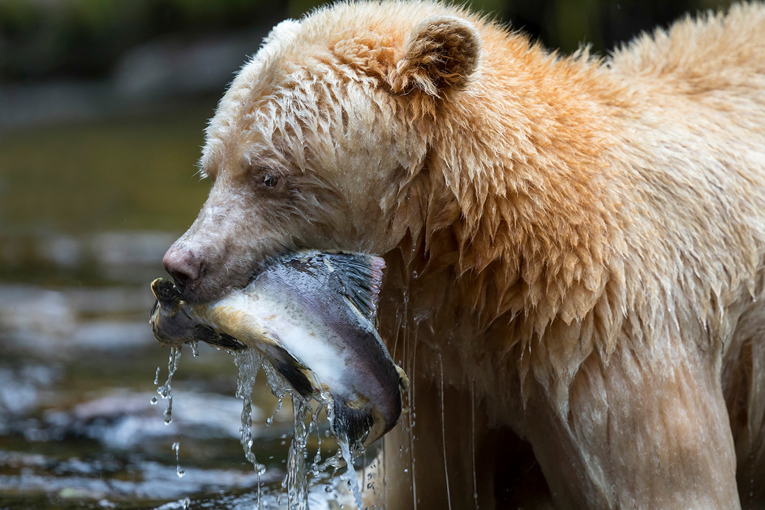 "PIC BY Steven Rose / CATERS NEWS (PICTURED a spirit bear in British Columbia, Canada ) A rare bear bear has been caught fishing for his dinner in a shallow river. Steven Rose, 63, captured the white bear - known as a spirit bear - while visiting the Great Bear Rain Forest in British Columbia, Canada, which is thought to be the only place in the world where these animals can be pictured. His images, taken last October, show the bear successfully hunting for fish across the river. Steven, a Canadian photography guide, said: ""The bears can be seen cleverly digging up the eggs laid by the salmon by clawing away the sand on the riverbed to expose the eggs, then gulping them up. ""I have clients who have gone on trips in previous years and not seen one during the whole week they were there. I am a lucky guy to have been able to witness this."""