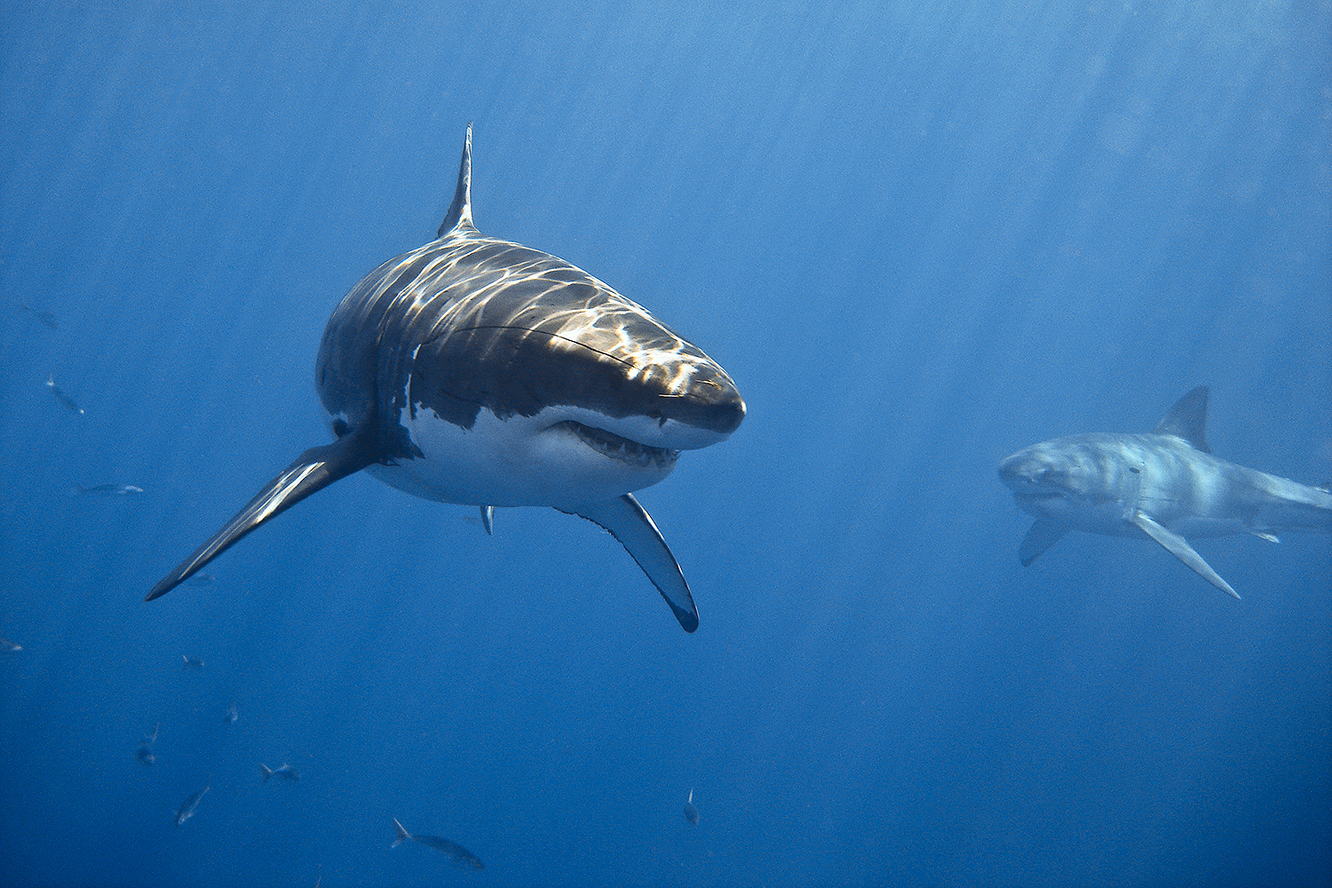 great white sharks cluster