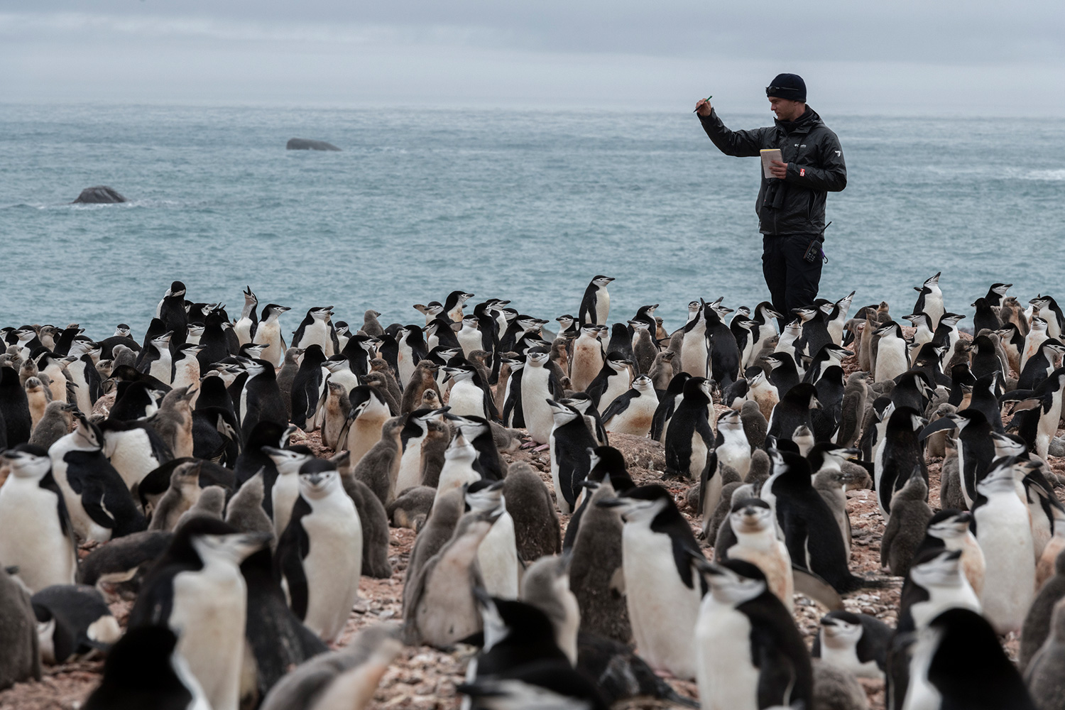 Noah Strycker, a graduate student at Stony Brook University in New York, studies Chinstrap Penguins on the Antarctic peninsula. Elephant Island is home to one of the world's largest Chinstrap Penguin populations, yet it has only been ornithologically surveyed once – nearly 50 years ago, in 1971. To understand how these penguins are faring today, an expedition is organized to census the Chinstrap Penguins on Elephant Island in 2020 by penguin researchers from Stony Brook University and Northeastern University together with Greenpeace to study the impact of climate change on fragile chinstrap penguin colonies in Antarctica. An observer must count every single penguin nest, one by one, and repeat the count three times within a 5% margin to ensure accuracy. It's often easiest to find a high point with a good view, and use landmarks (like rocks and other terrain features) to visually divide up large chunks of birds. (This picture was taken in 2020 during the Antarctic leg of the Pole to Pole expedition under the Dutch permit number RWS-2019/40813)