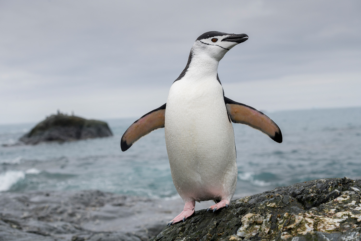Chinstrap penguin on the shore of Elephant Island in Antarctica. Greenpeace is in the Antarctic to investigate the impacts of the climate crisis as part of the Protect the Oceans Expedition, a year long pole to pole ship tour, campaigning for the establishment of ocean sanctuaries to safeguard this frozen region and its penguins, seals and whales, and to help address the climate emergency. (This picture was taken in 2020 during the Antarctic leg of the Pole to Pole expedition under the Dutch permit number RWS-2019/40813)