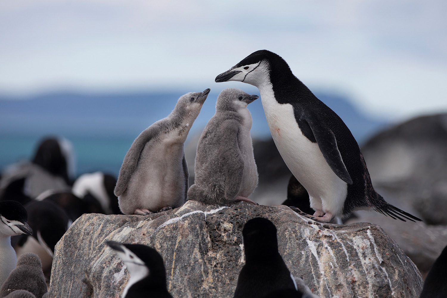 A Chinstrap Penguin colony on Penguin Island. Greenpeace is back in the Antarctic on the last stage of the Pole to Pole Expedition. We have teamed up with a group of scientists to investigate and document the impacts the climate crisis is already having in this area. *This picture were taken in 2020 during the Antarctic leg of the Pole to Pole expedition under the Dutch permit number RWS-2019/40813.