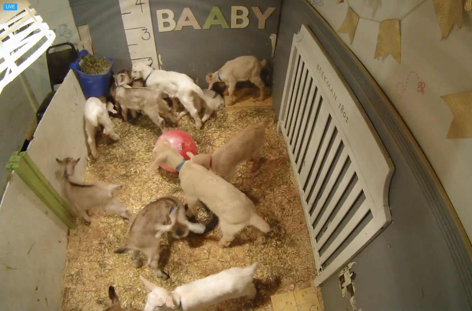 Baby Goat Cam from Beekman 1802