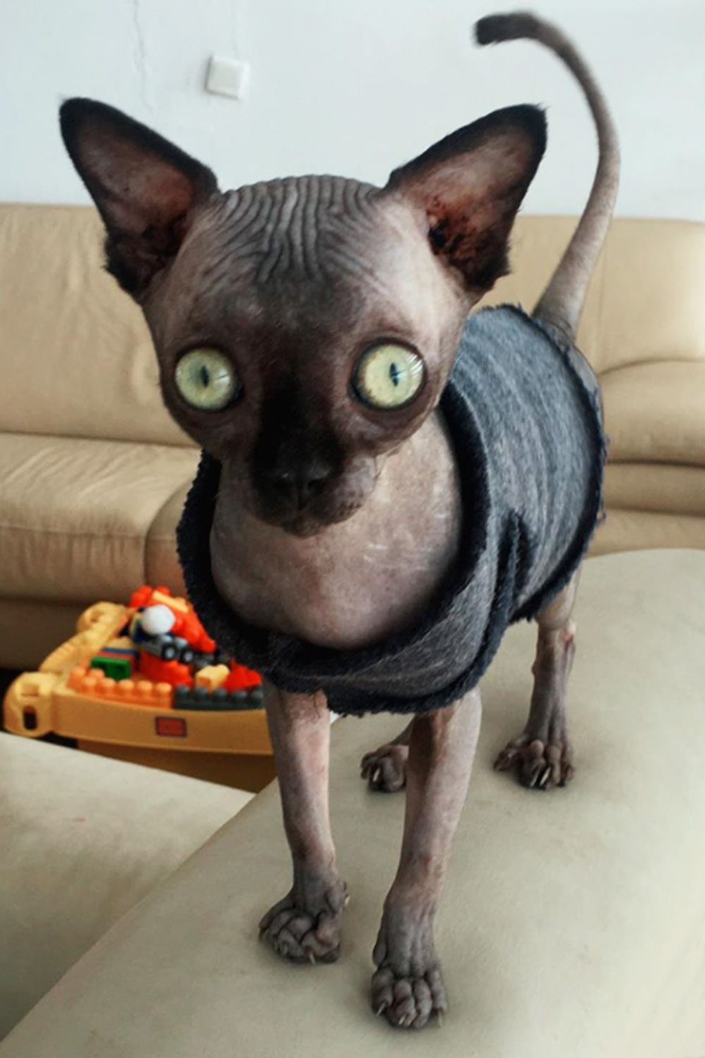 Lucy the Sphynx cat stood in an outfit) - A Sphynx cat with an enlarged head that looks like an adorable bat has been conquering hearts thanks to her unusual appearance.