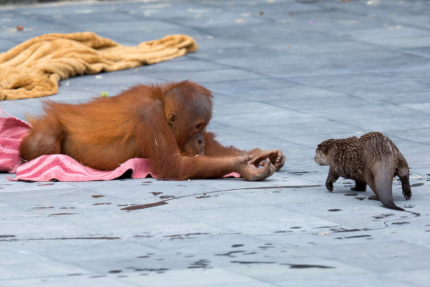 OTTERLY ADORABLE! ORANGUTANS AND OTTERS FORM SURPRISING FRIENDSHIP AS THEY SHARE AN ENCLOSURE AT PIONEERING ZOO