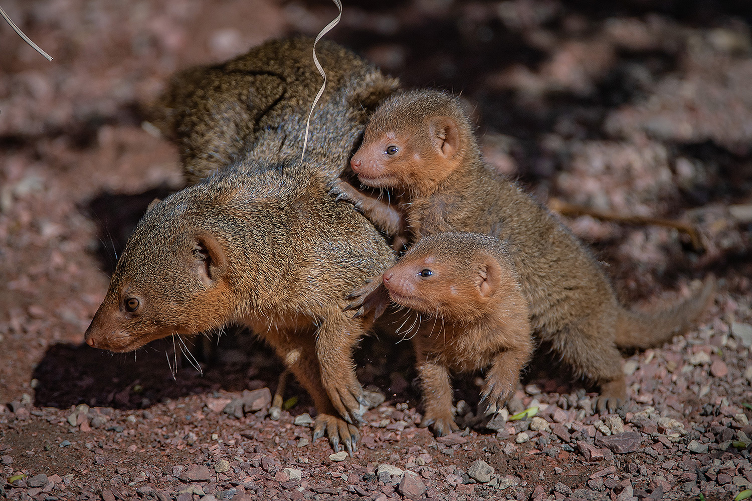 baby mongoose