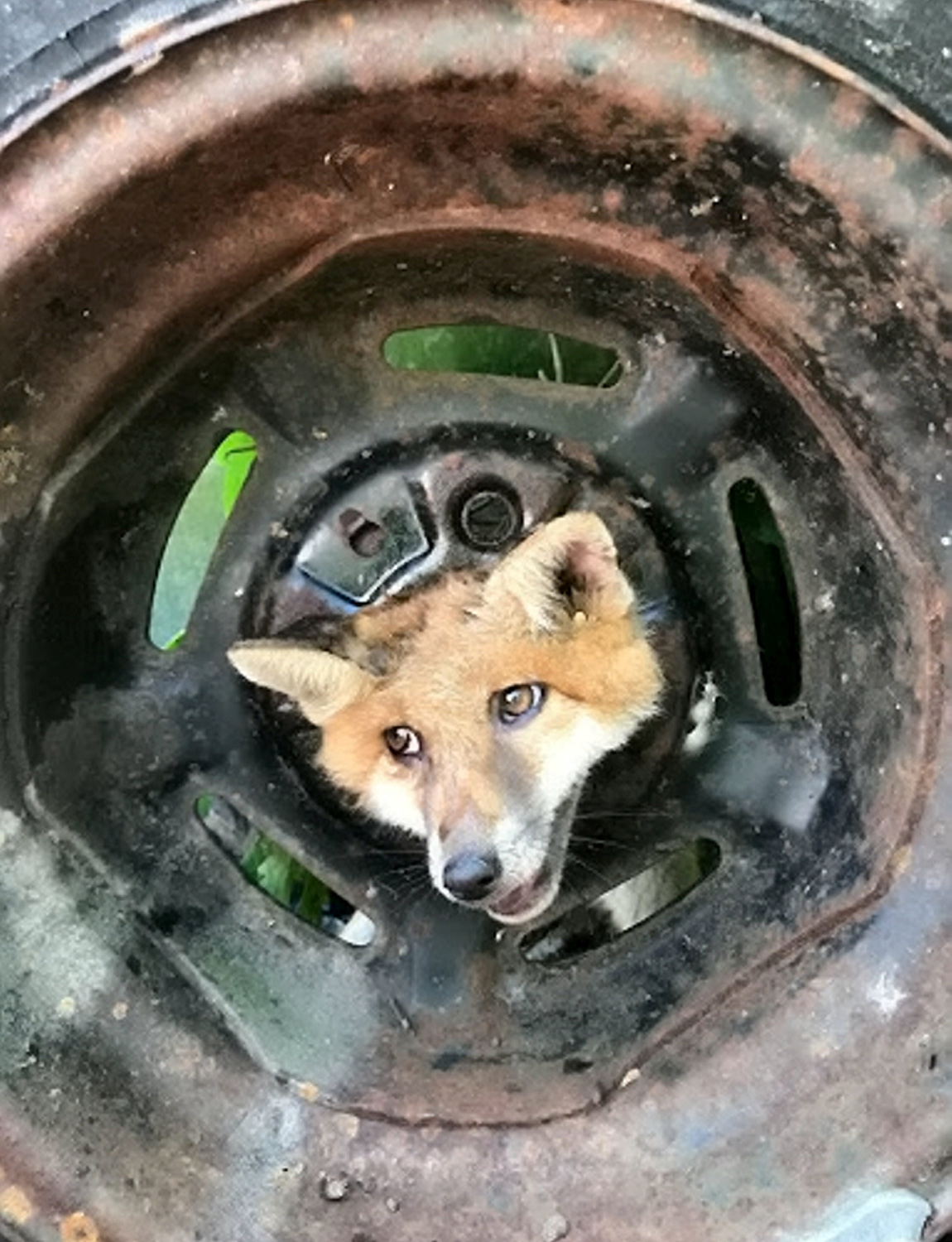 This less than fantastic Mr Fox had to be freed by firefighters after its head got stuck in an old car wheel in Croydon, London