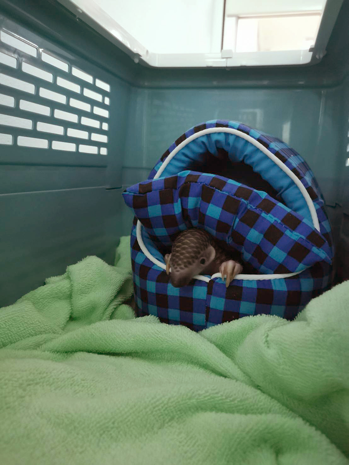 pangolin rescued