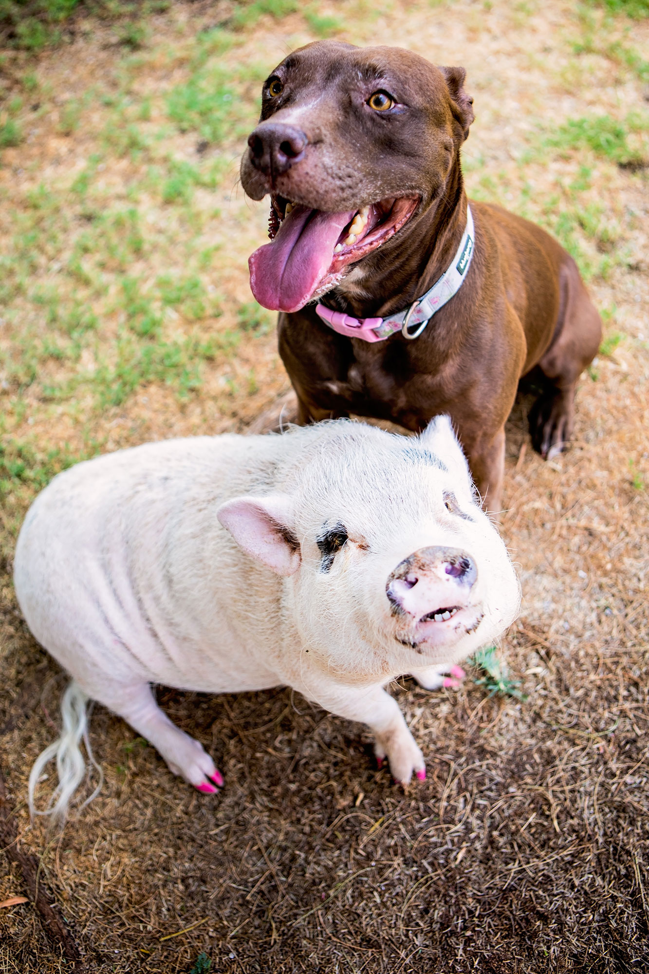 Pit Bull and Pig