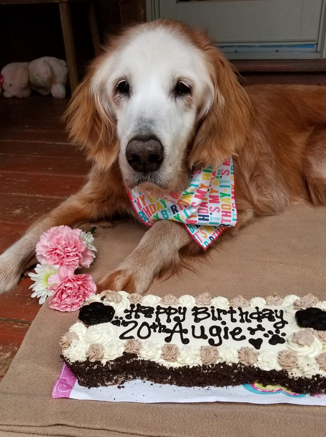 oldest golden retriever August