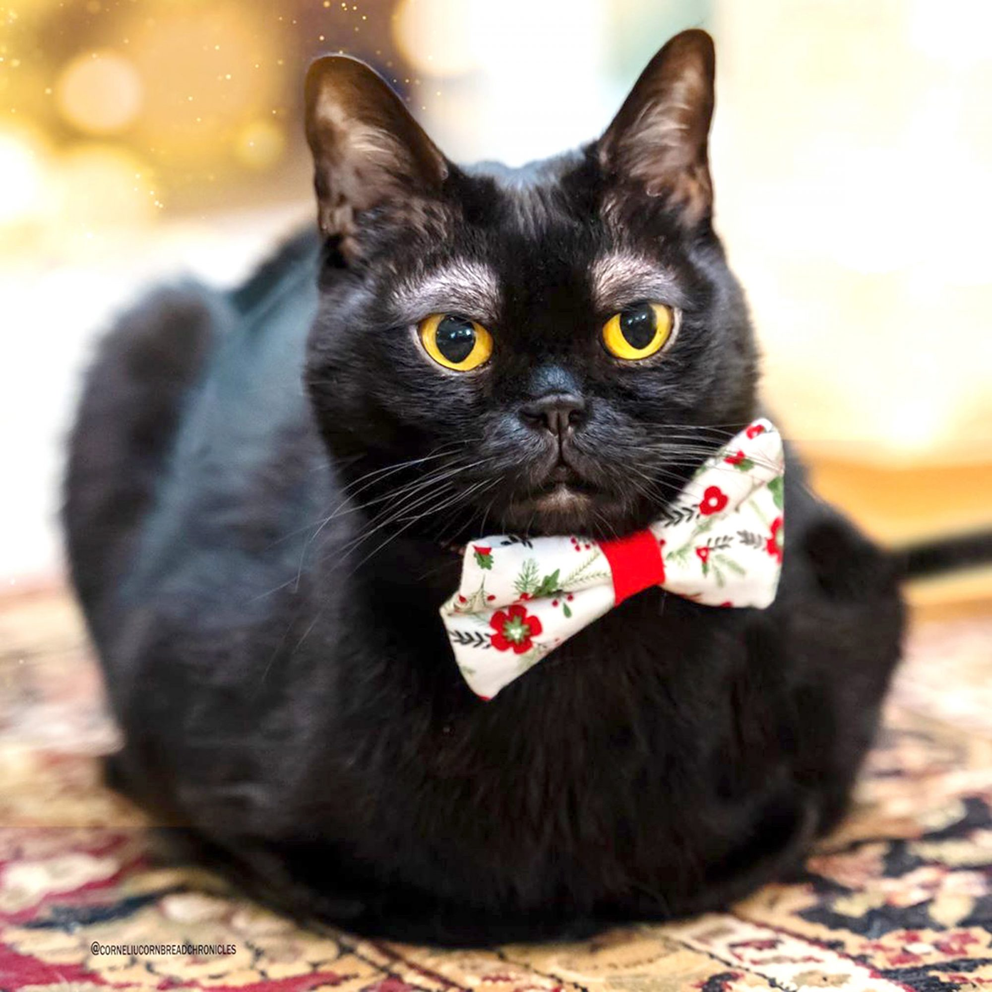 A cat who appears to have eyebrows has conquered thousands of followers online thanks to his sophisticated looks. Cornelius Cornbread, four, from Nashville, Tennessee, is a Bombay cat who has become popular on the Internet thanks to the 'eyebrows' marks on his forehead.