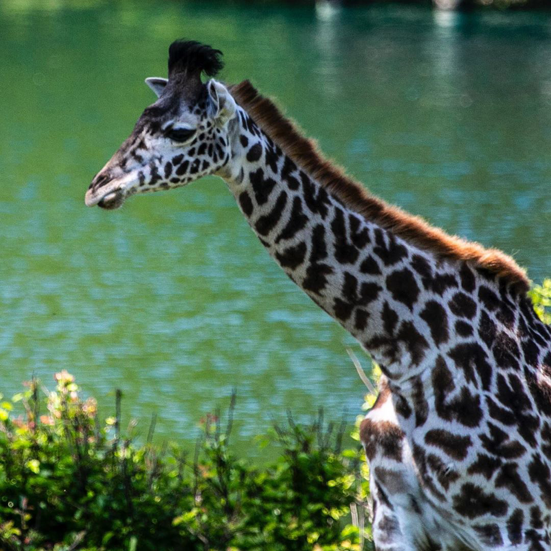 Kansas City Zoo Mourns Deaths of 'Beloved' 2-Year-Old Giraffe and 37-Year-Old Gorilla