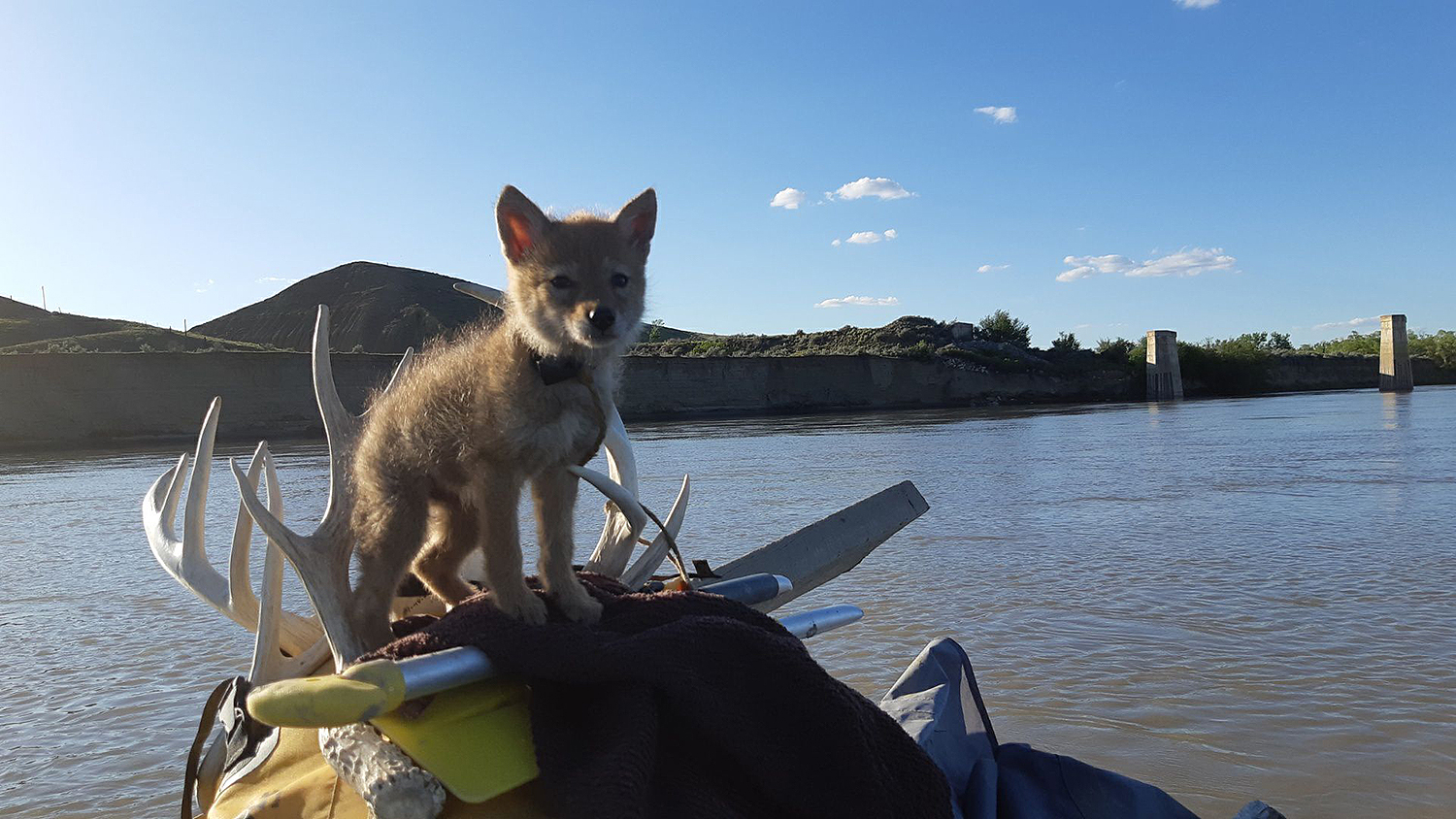 coyote pup rescued