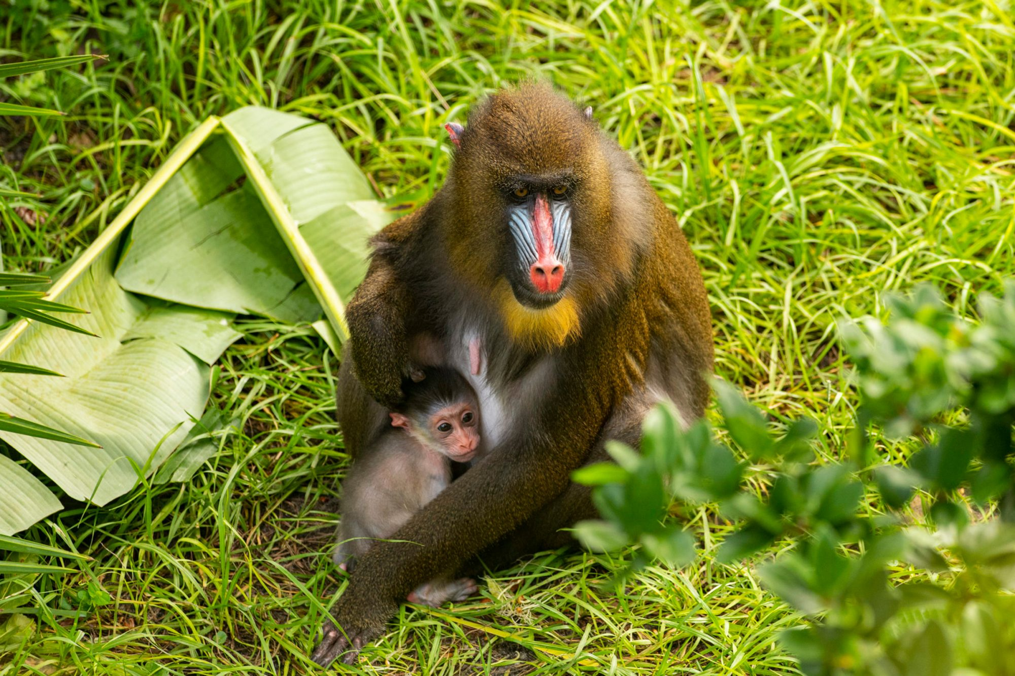 A baby mandrill, seen here with mother Scarlett, was born July 25, 2020, at Disney's Animal Kingdom