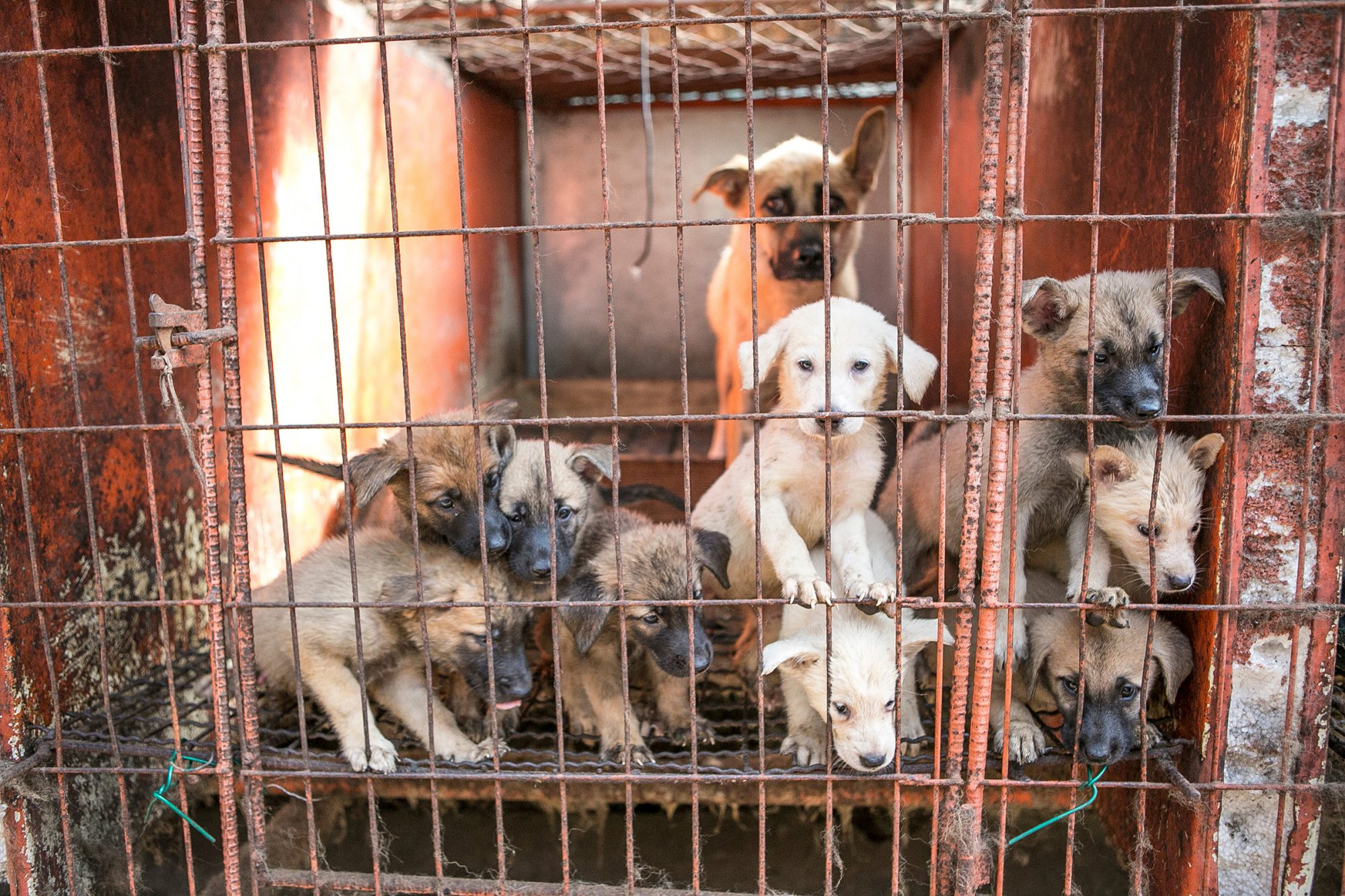 South Korea Dog Meat Farm Rescue