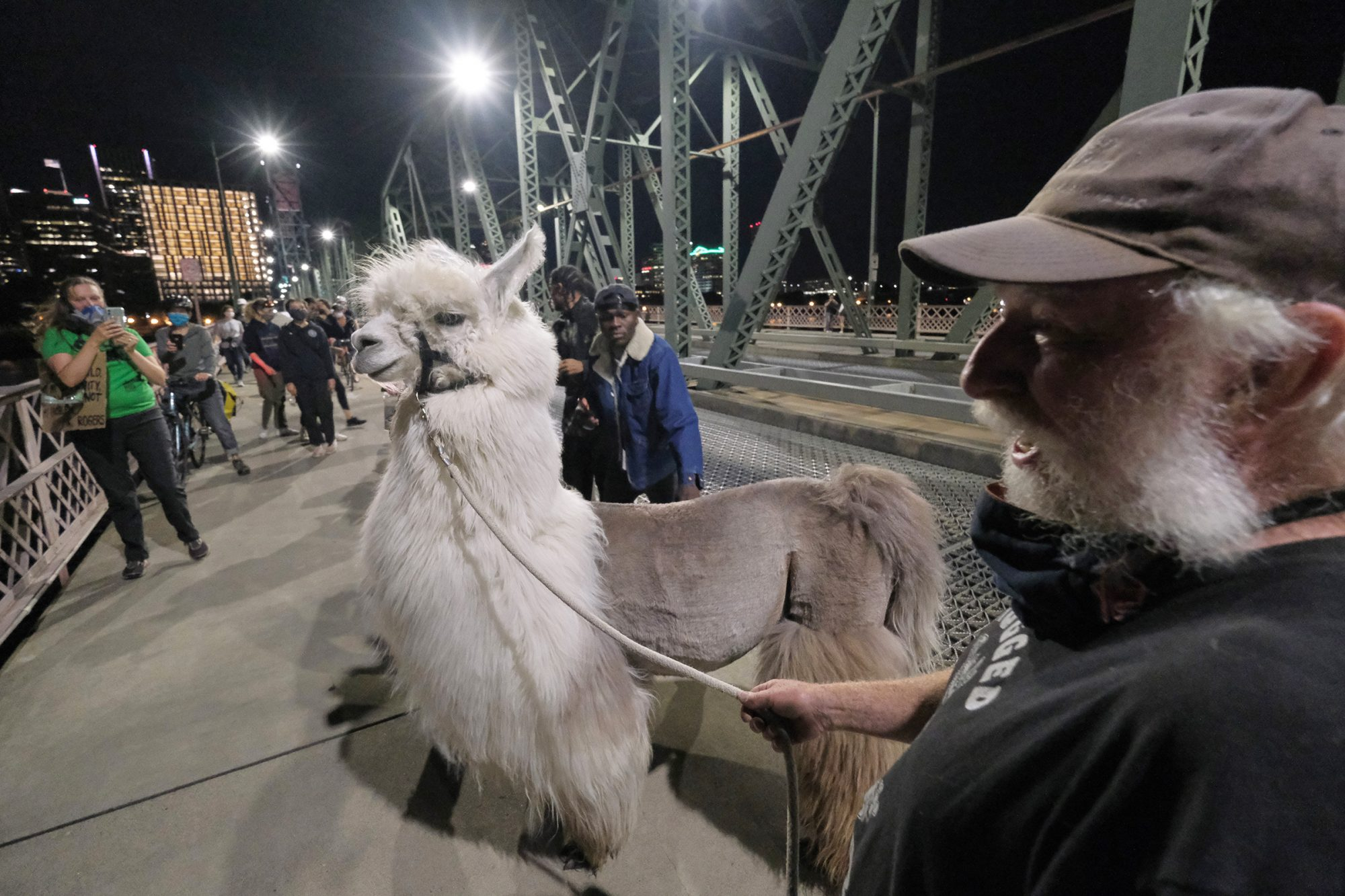 Caesar the no drama llama is followed by fans as he leaves the protest over the Hawthorne Bridge in Portland, Ore., on July 25, 2020