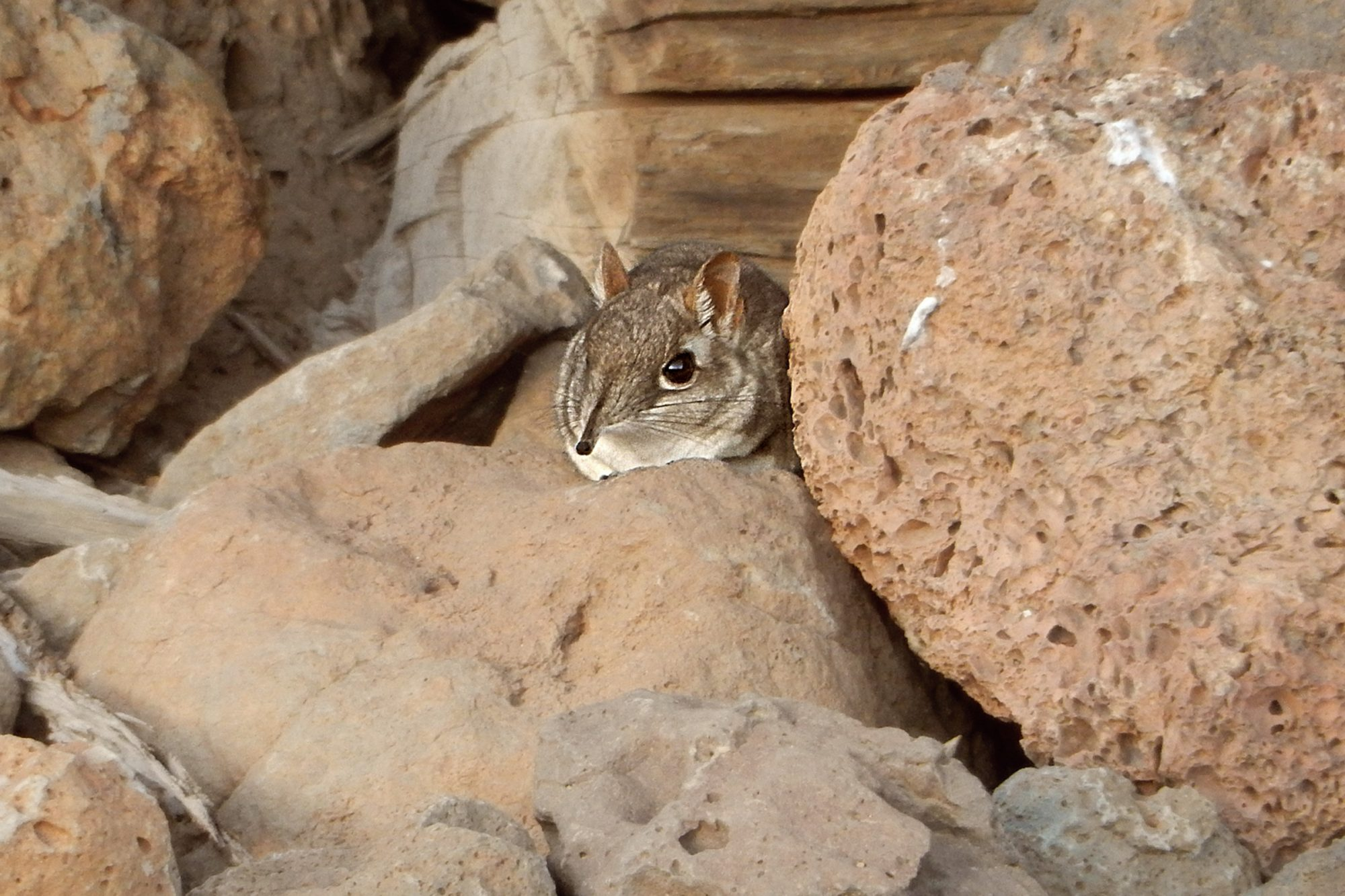 The first-ever photo of a live Somali Sengi for scientific documentation