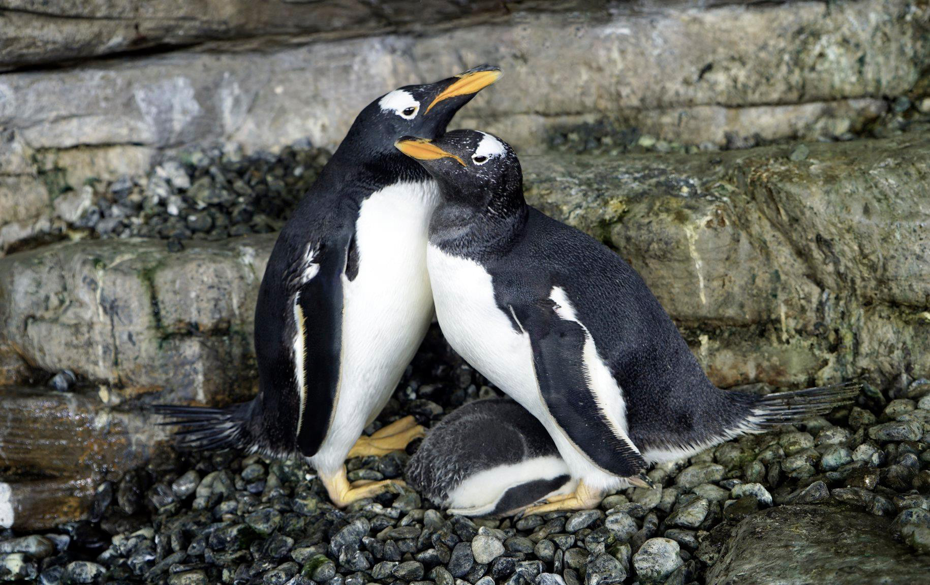 Same-Sex Penguin Couple Become Proud Parents After Hatching an Adopted Egg at Valencia Aquarium