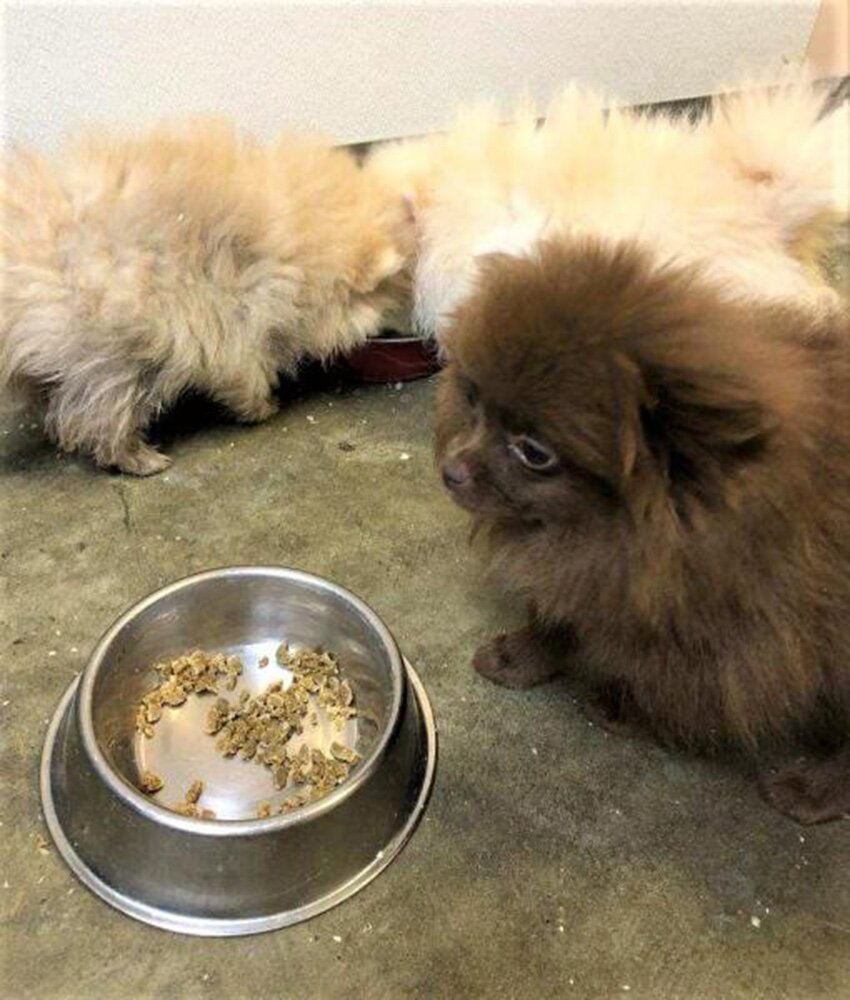 8 Pomeranian Puppies Smuggled Into U S From Russia People Com