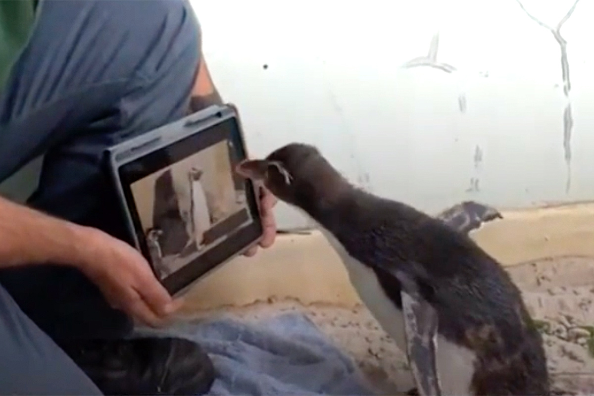 Penguin at Perth Zoo Loves to Watch Videos of Other Penguins